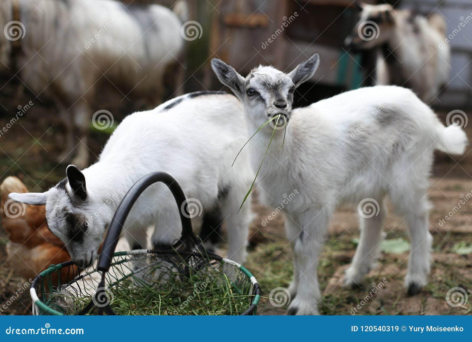 Una cabra del bebé que come la hierba