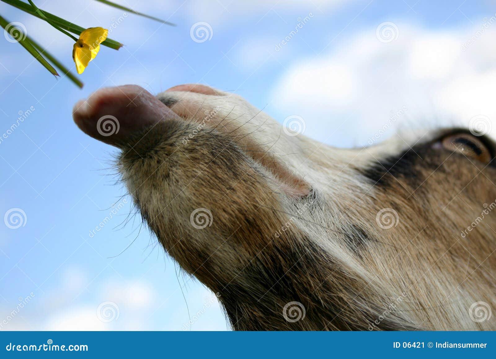 Una capra: È tempo di mangiare!