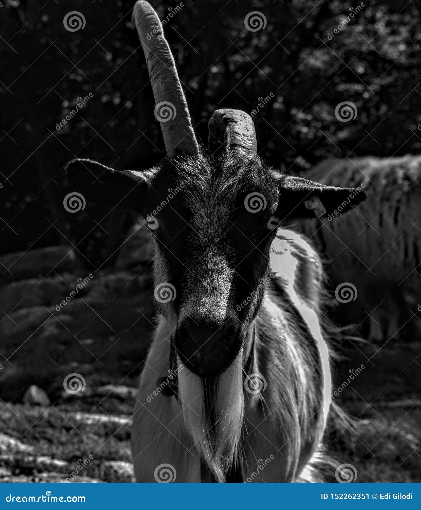 Una capra di courios