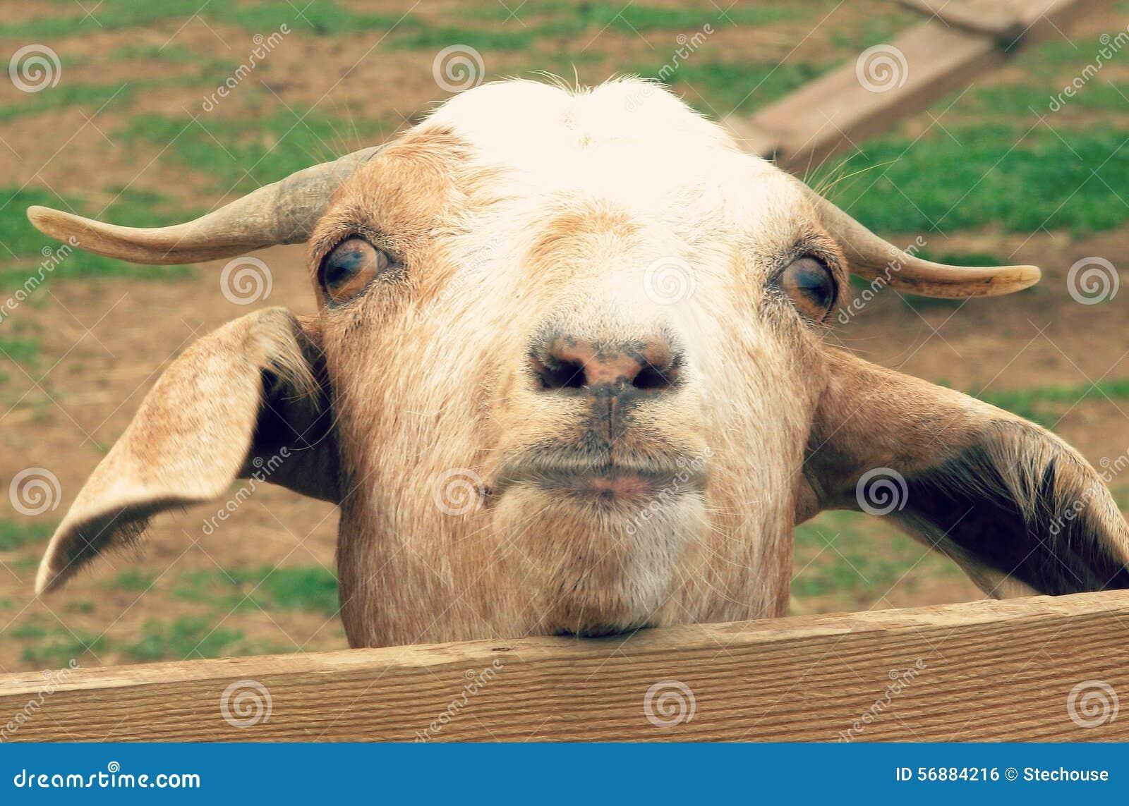 Una capra nel paese di Amish esamina un recinto
