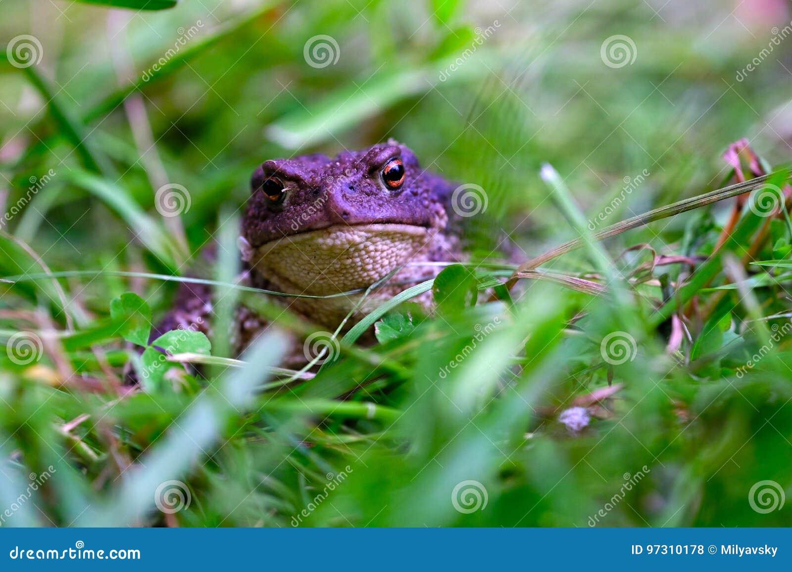 Una cara del ` s de la rana