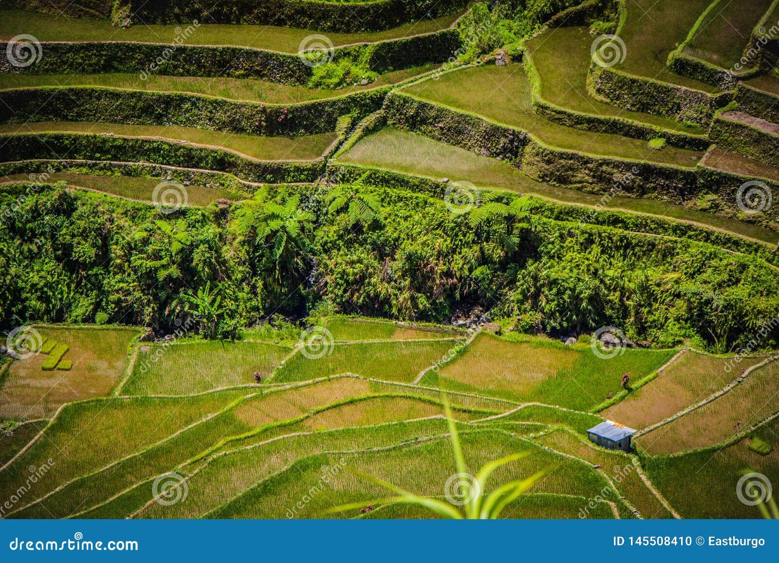 Una casa aislada de la granja en las terrazas del arroz de Batad