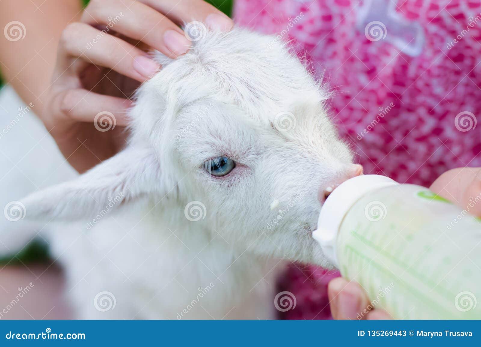 Una chica joven alimenta una cabra recién nacida con leche de una botella con el maniquí del bebé