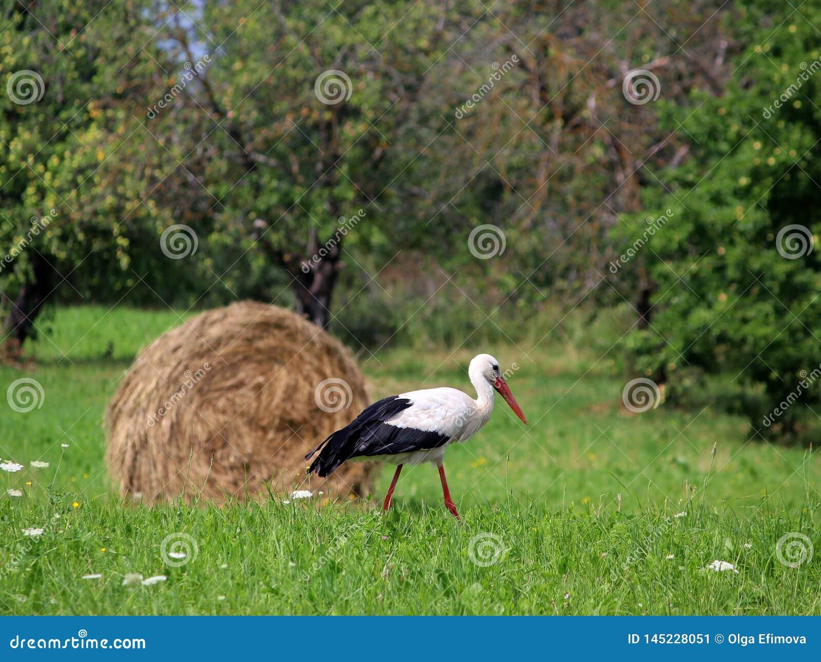 Una cicogna e un mucchio di fieno villaggio Luce del giorno Fotografia di estate