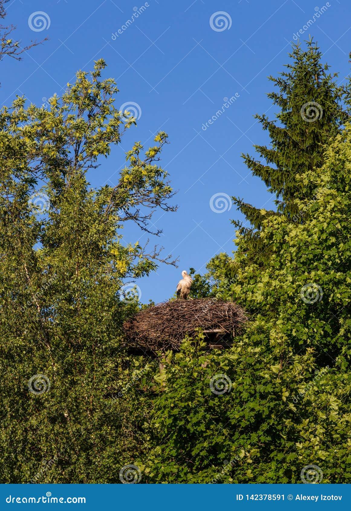Una cicogna fiera con i pulcini si siede in un nido nella regione di Kaliningrad, Russia
