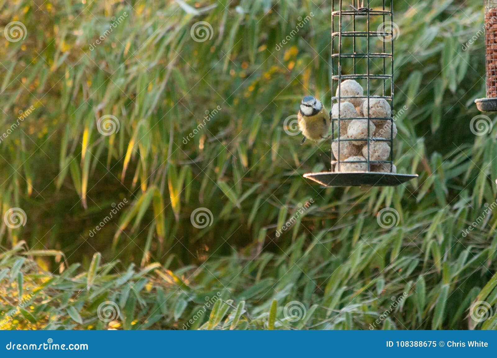 Una cinciarella che si alimenta da un alimentatore dell uccello in giardino