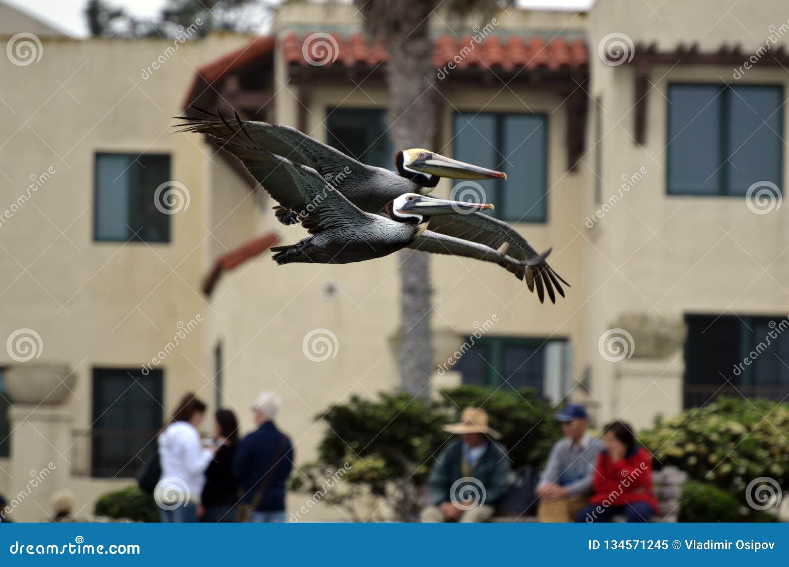 """Una coppia di pellicani marroni sono molto attentamente il volo come se """"congiuntamente """""""