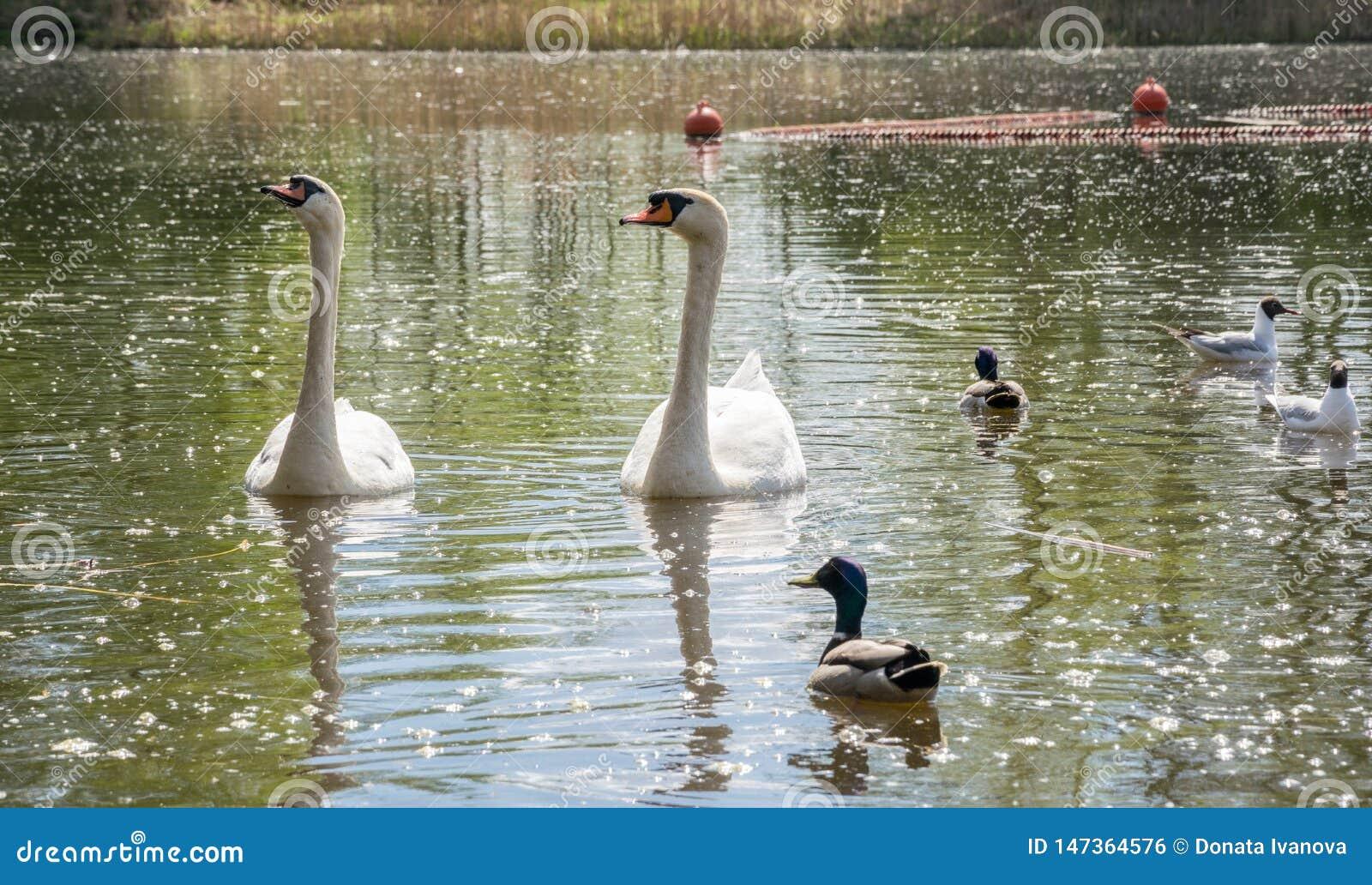 Una coppia i cigni bianchi che galleggiano nel lago nella societ? delle anatre e dei gabbiani