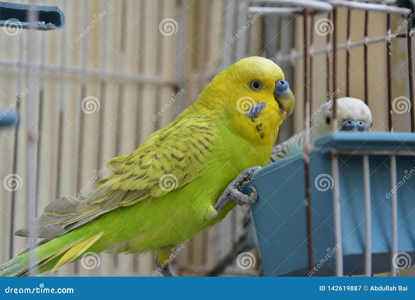 Una coppia i pappagalli australiani in gabbia