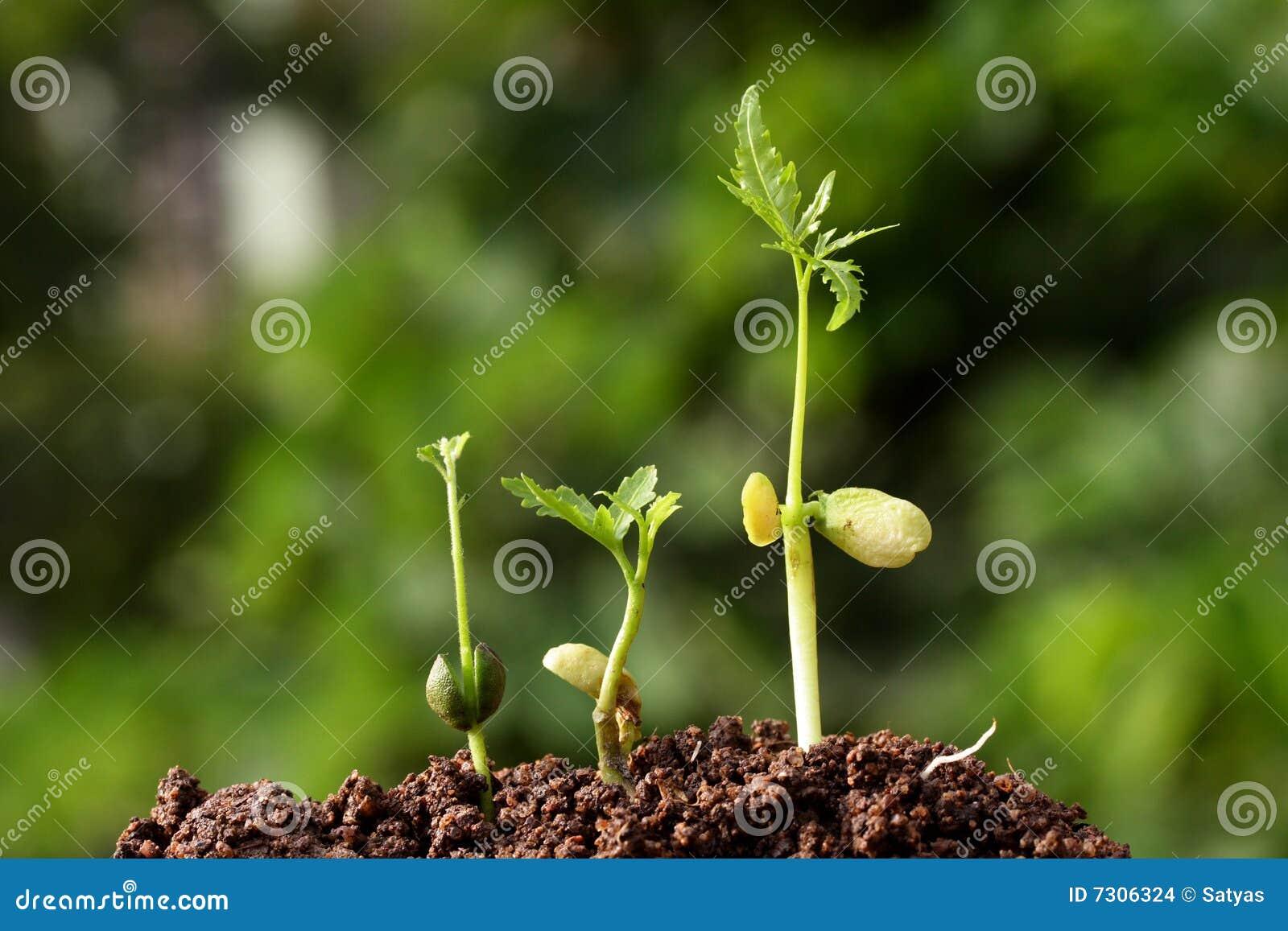 Una crescita dei tre alberelli