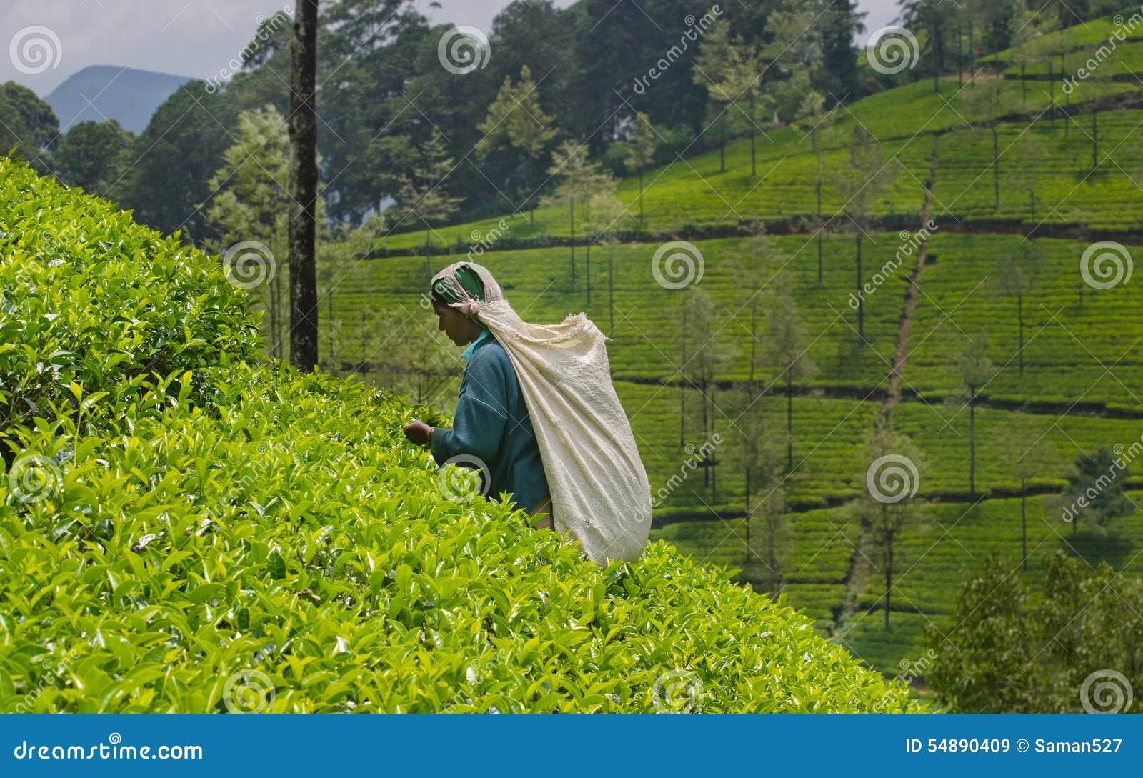 Una donna tamil dalla sri lanka rompe le foglie di t for Progetti di piantagione