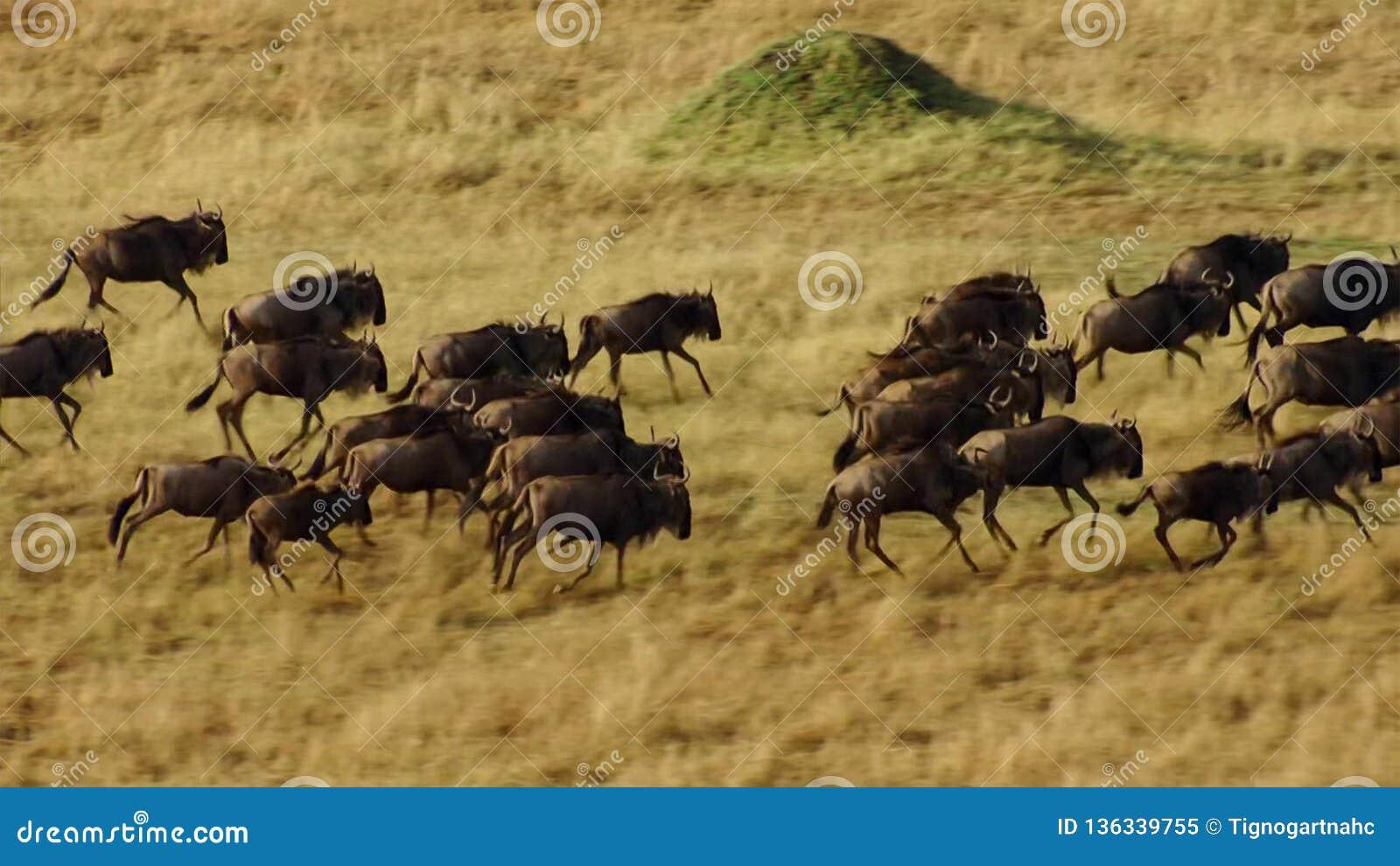 Una estación seca se arraiga Para evitar el hambre, muchos el ñu vaga la sabana africana del este que persigue la lluvia