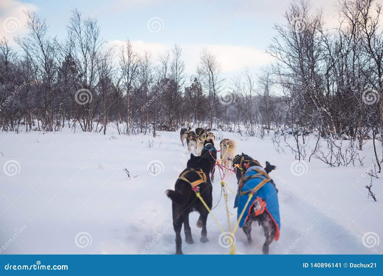 Una experiencia emocionante que monta un trineo del perro en el paisaje del invierno Bosque y montañas Nevado con un equipo del p