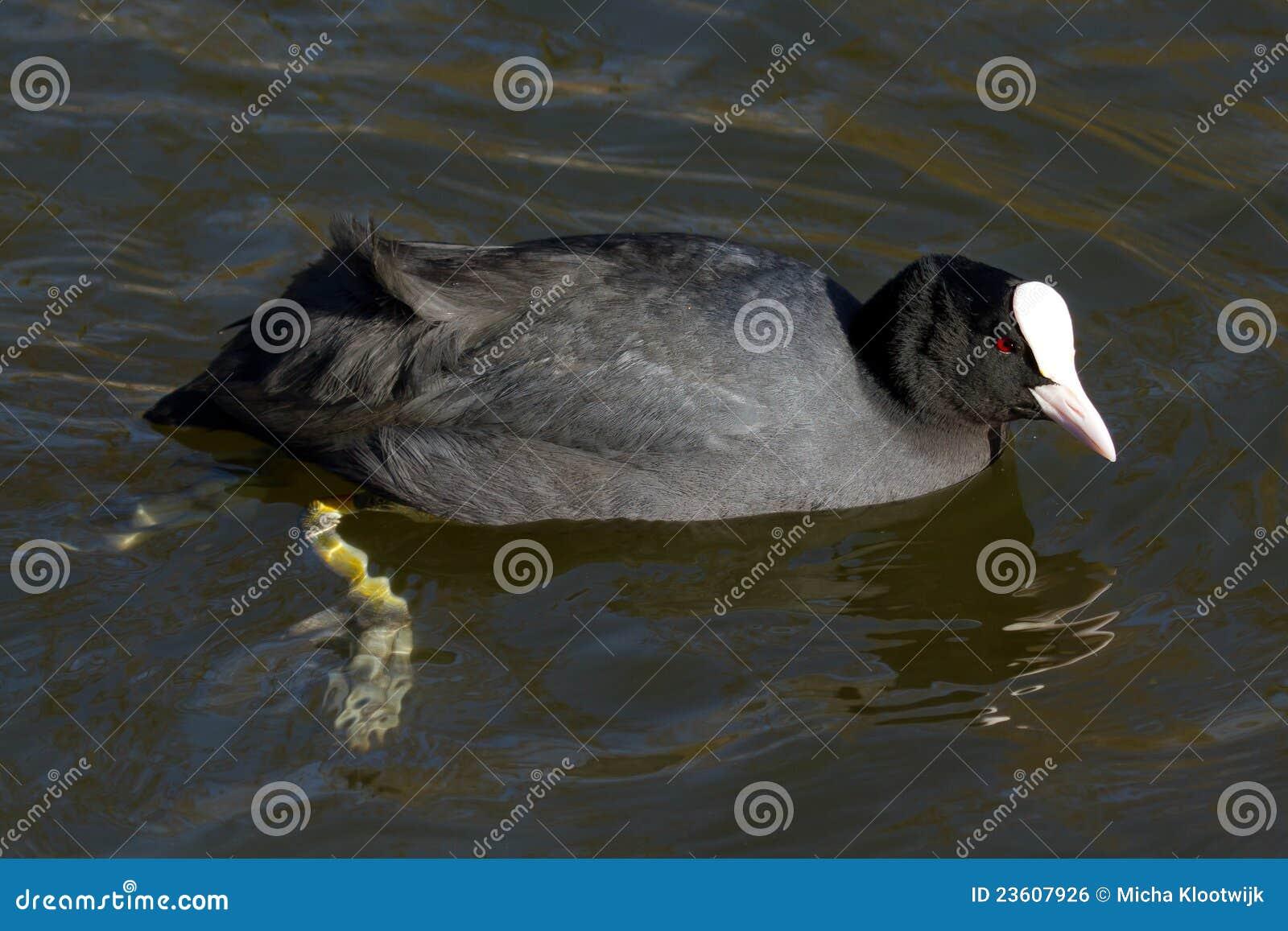 Una fúlica está nadando
