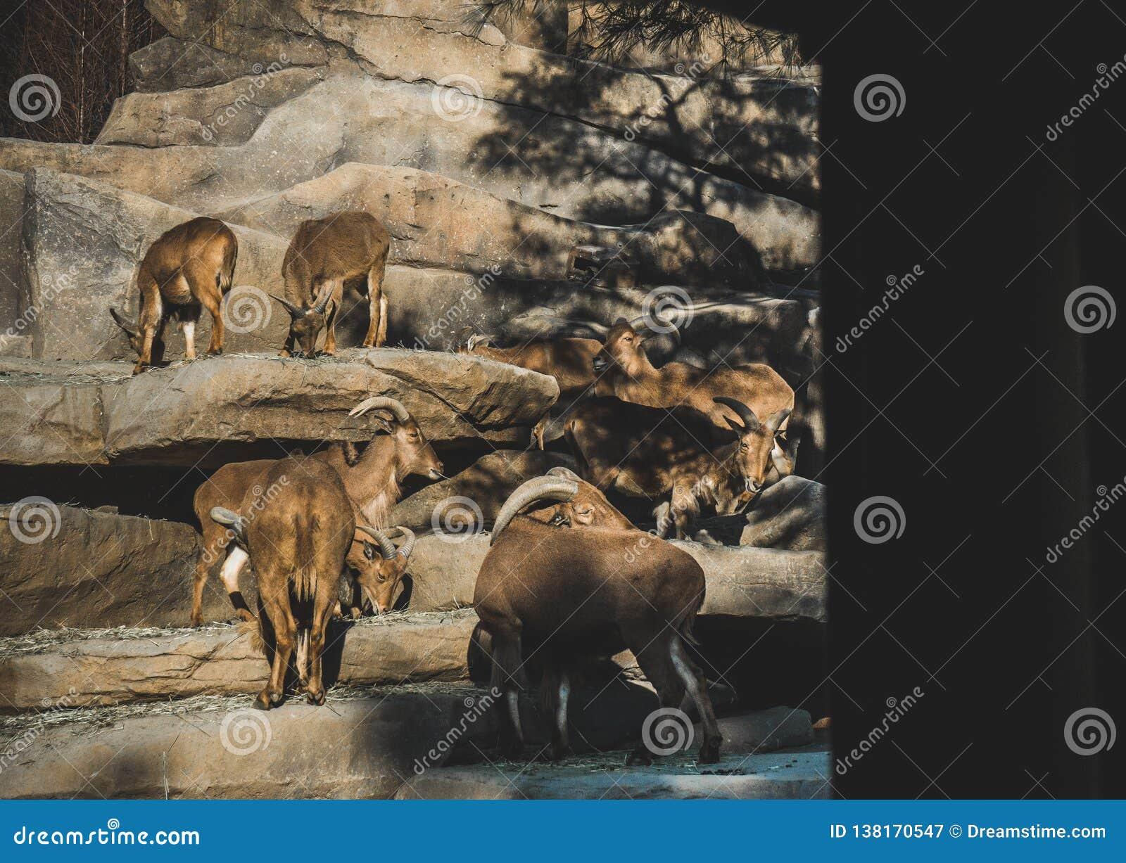 Una famiglia delle capre selvatiche nel selvaggio un giorno soleggiato