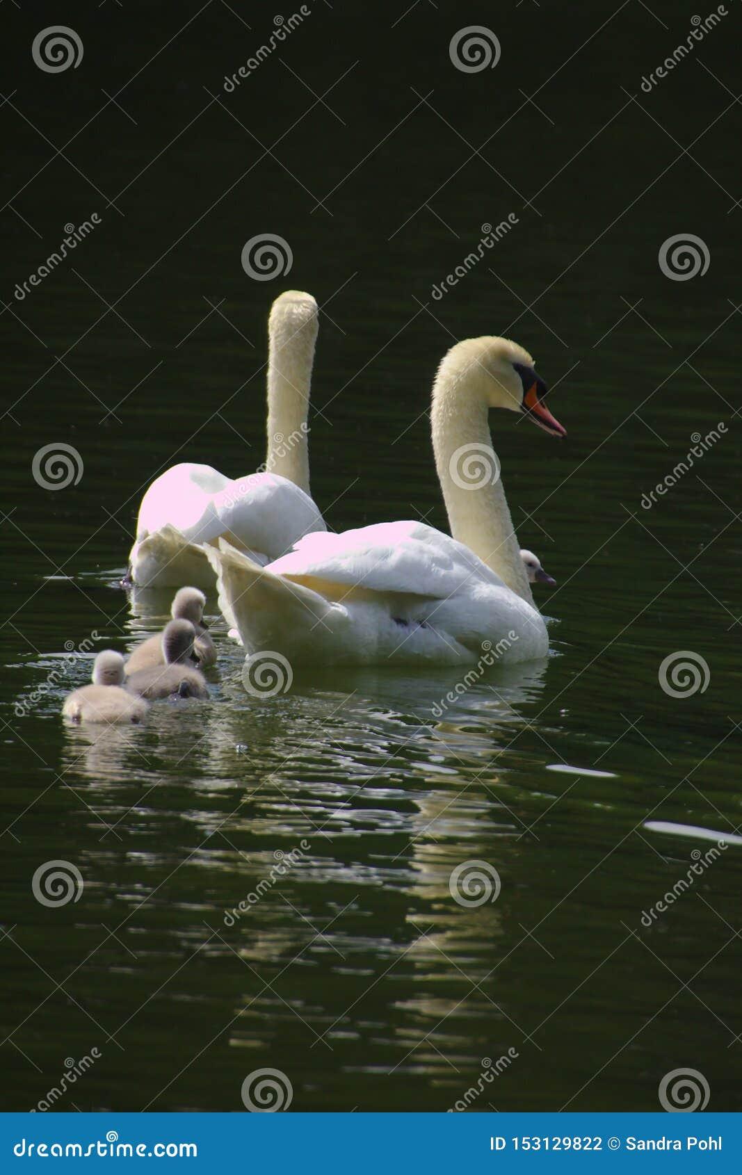 Una familia del cisne con tres polluelos que nadan en el lago
