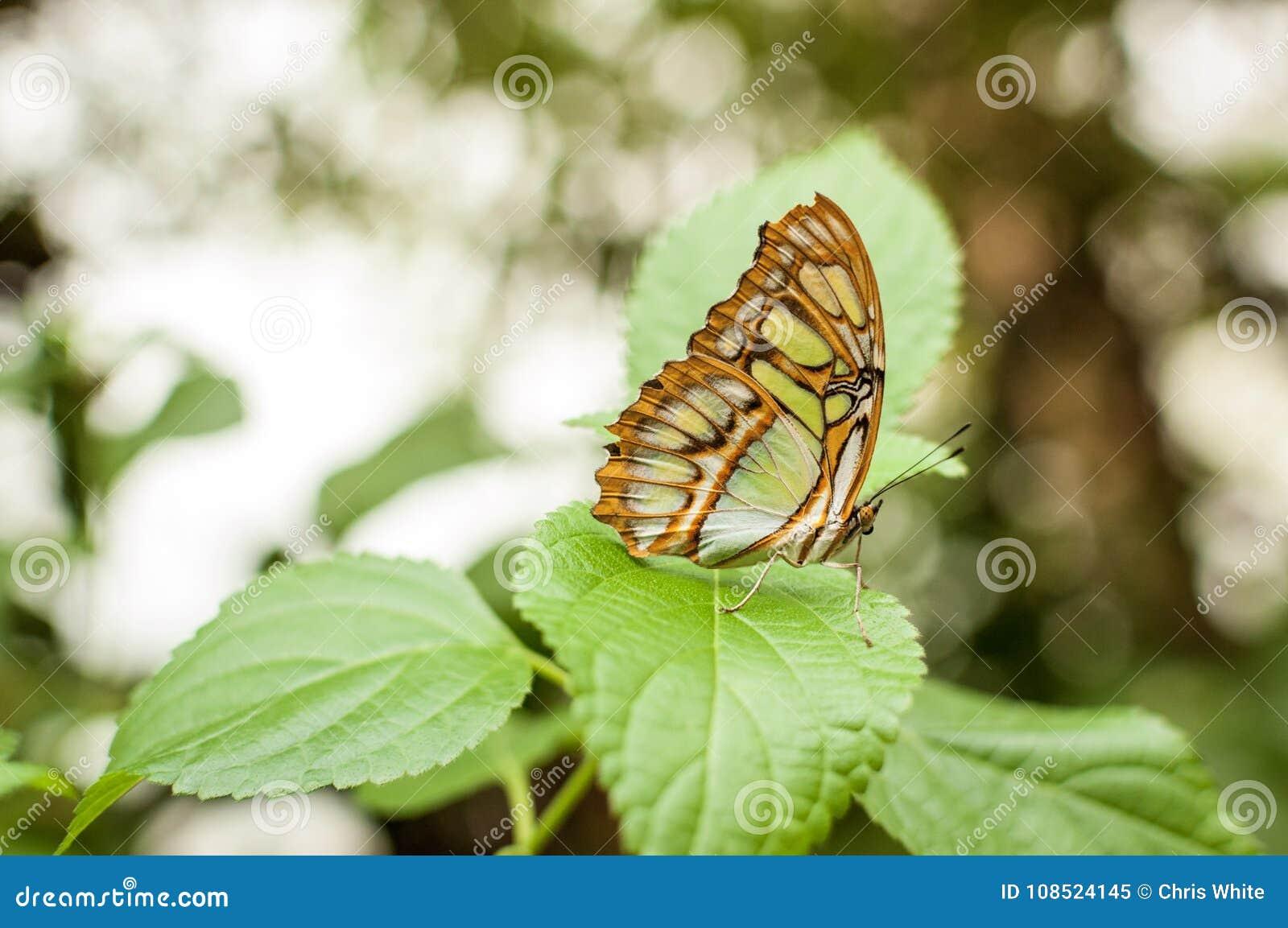 Una farfalla della malachite che sta su una foglia verde