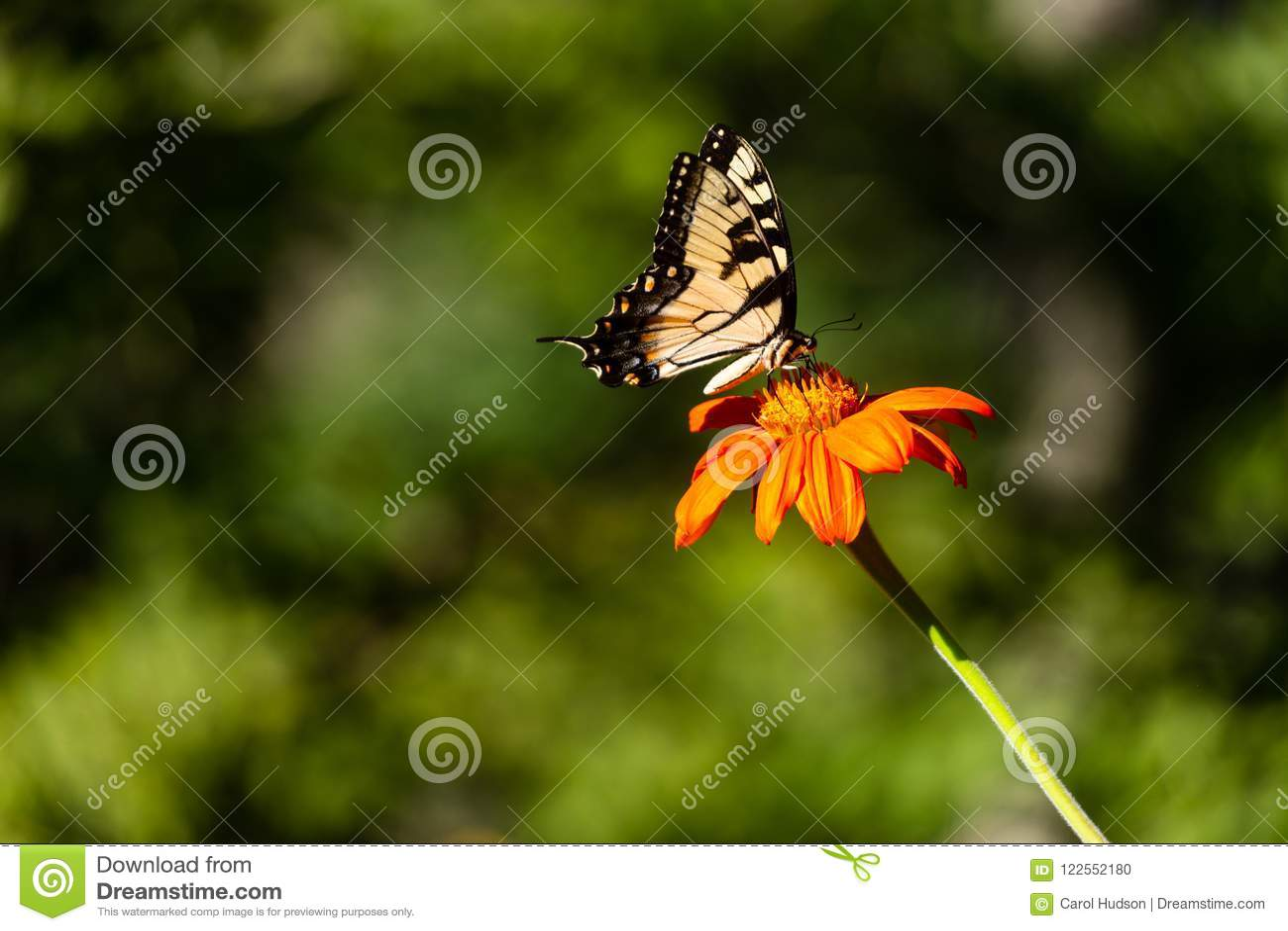 Una farfalla orientale di Tiger Swallowtail su un fiore arancio