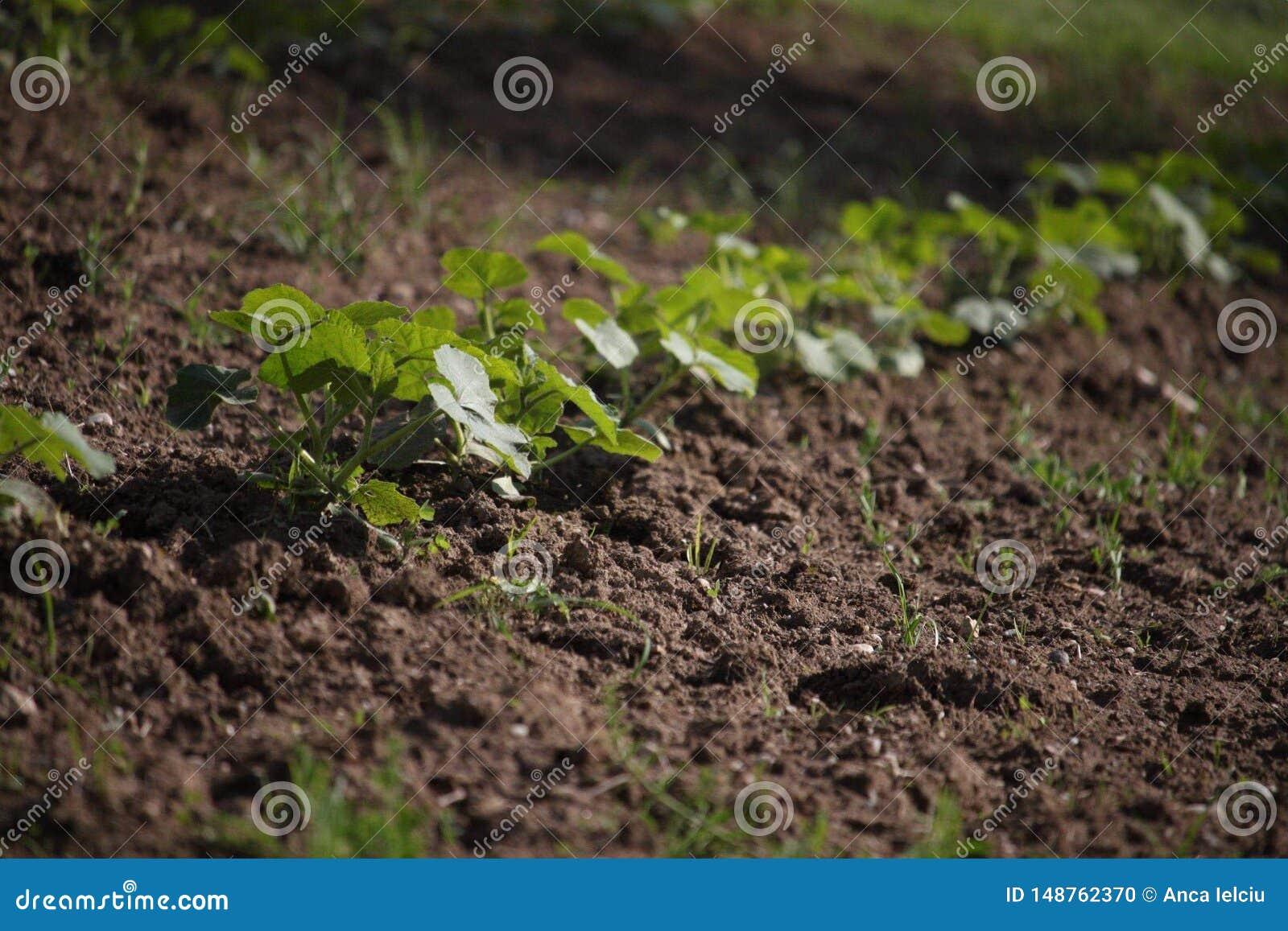 Una fila de las plantas jovenes de la calabaza