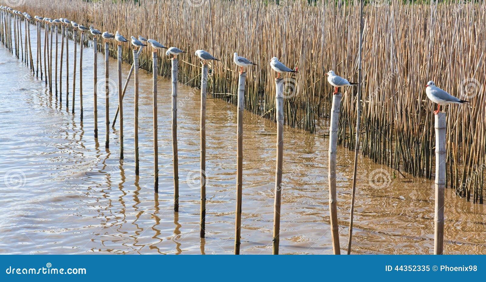 Una fila dei gabbiani bianchi che si siedono su un bambù