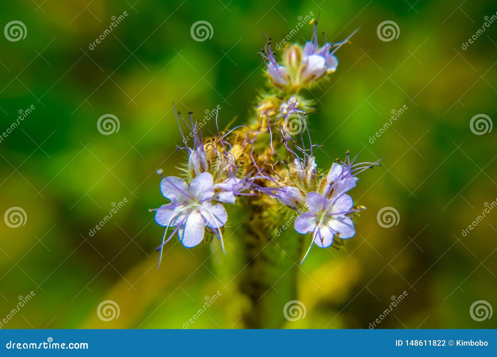 Una fine sul macro colpo del campo dei fiori blu e porpora, ha nominato il phacelia di Lacy