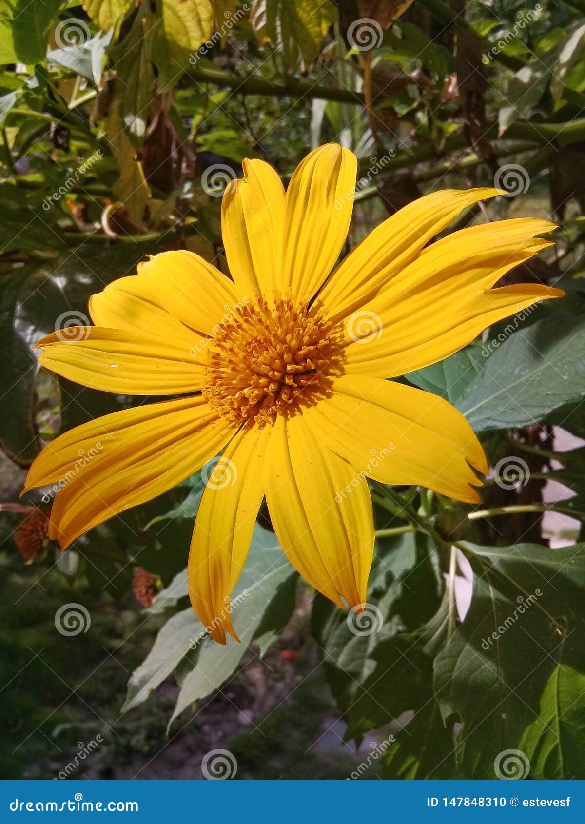 Una flor amarilla hermosa de la margarita en el jard?n