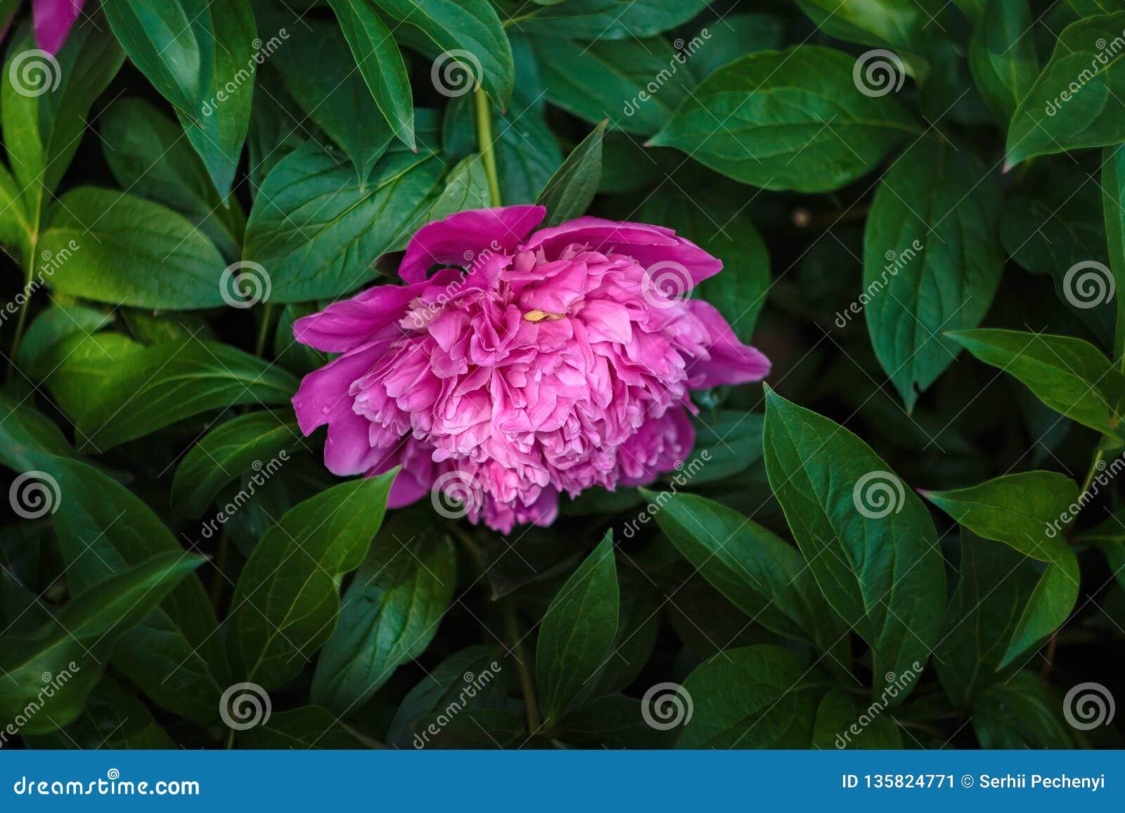 Una flor de la peonía en fondo verde de las hojas