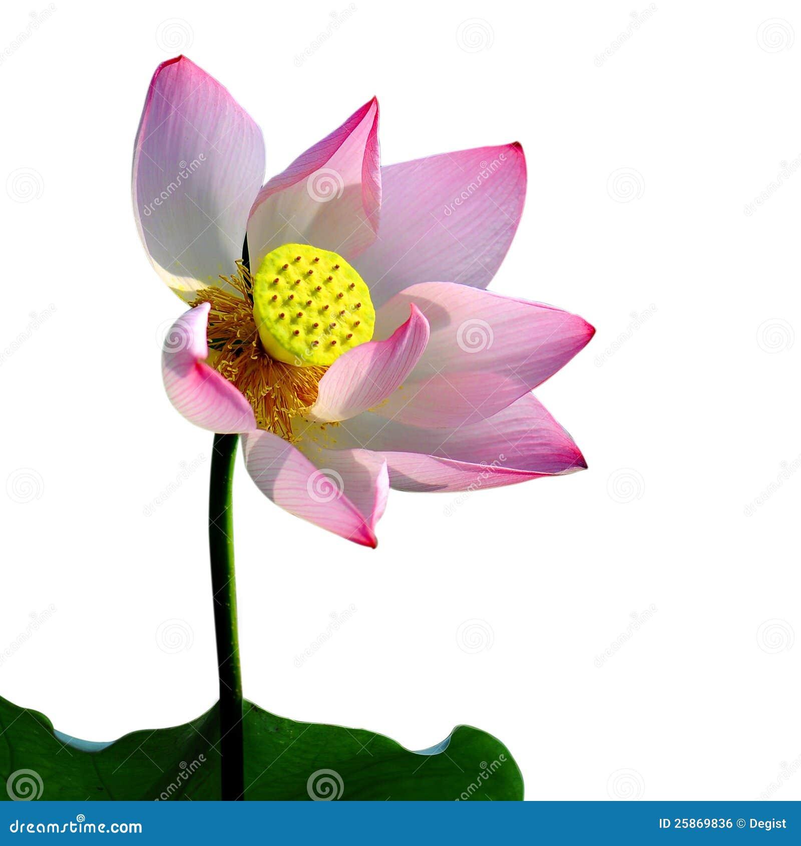 Una flor de loto rosada,