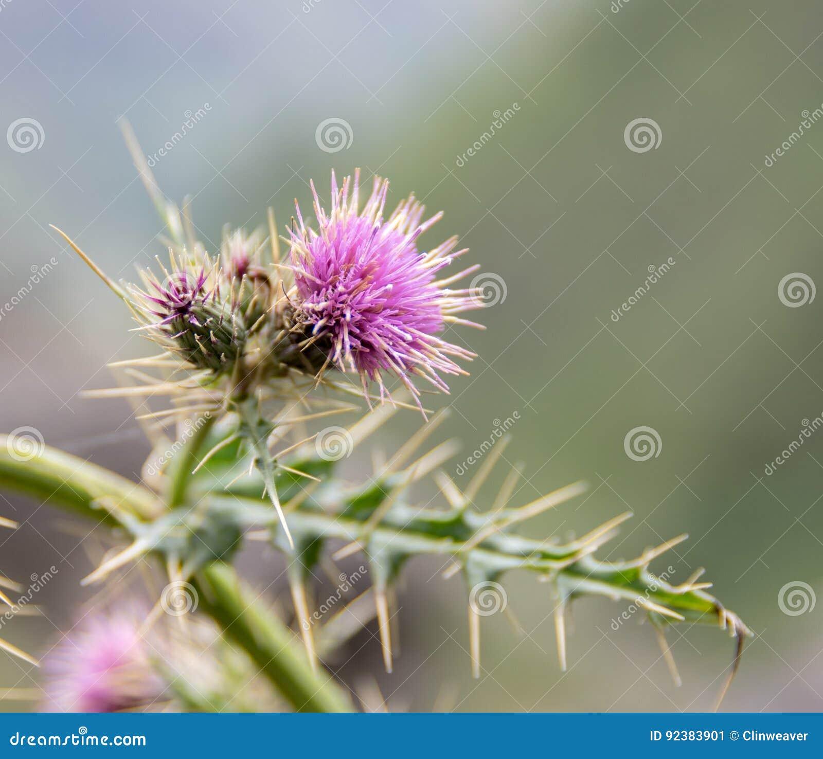 Una flor del cardo