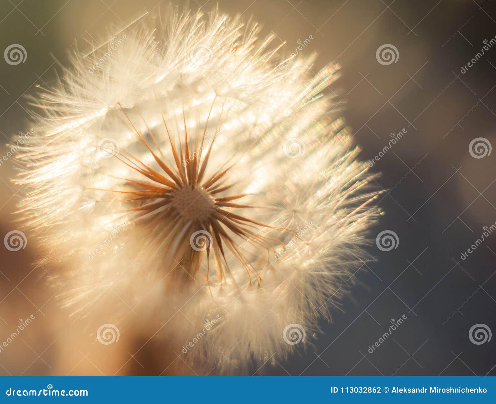 Una flor del diente de león contra la perspectiva del sol