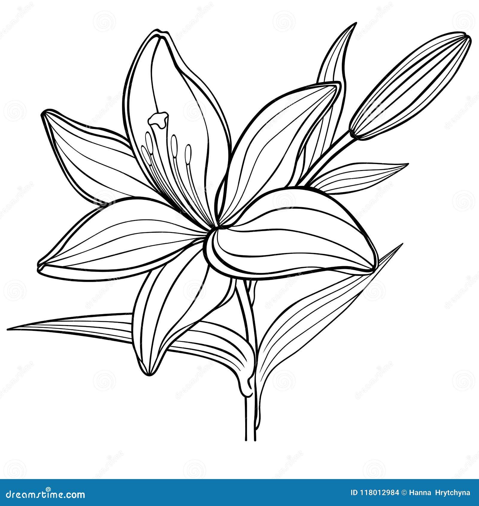 Una Flor Del Lirio Con Un Brote Rebecca 36 Dibujo Linear