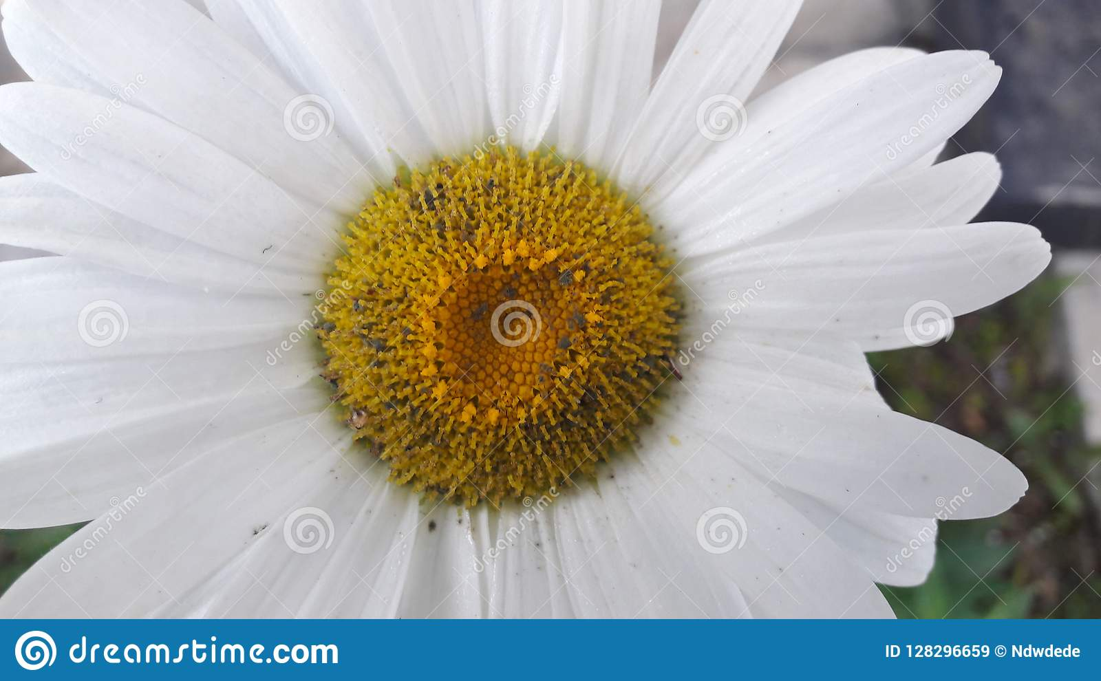 Una flor hermosa grande con mediados de amarillo