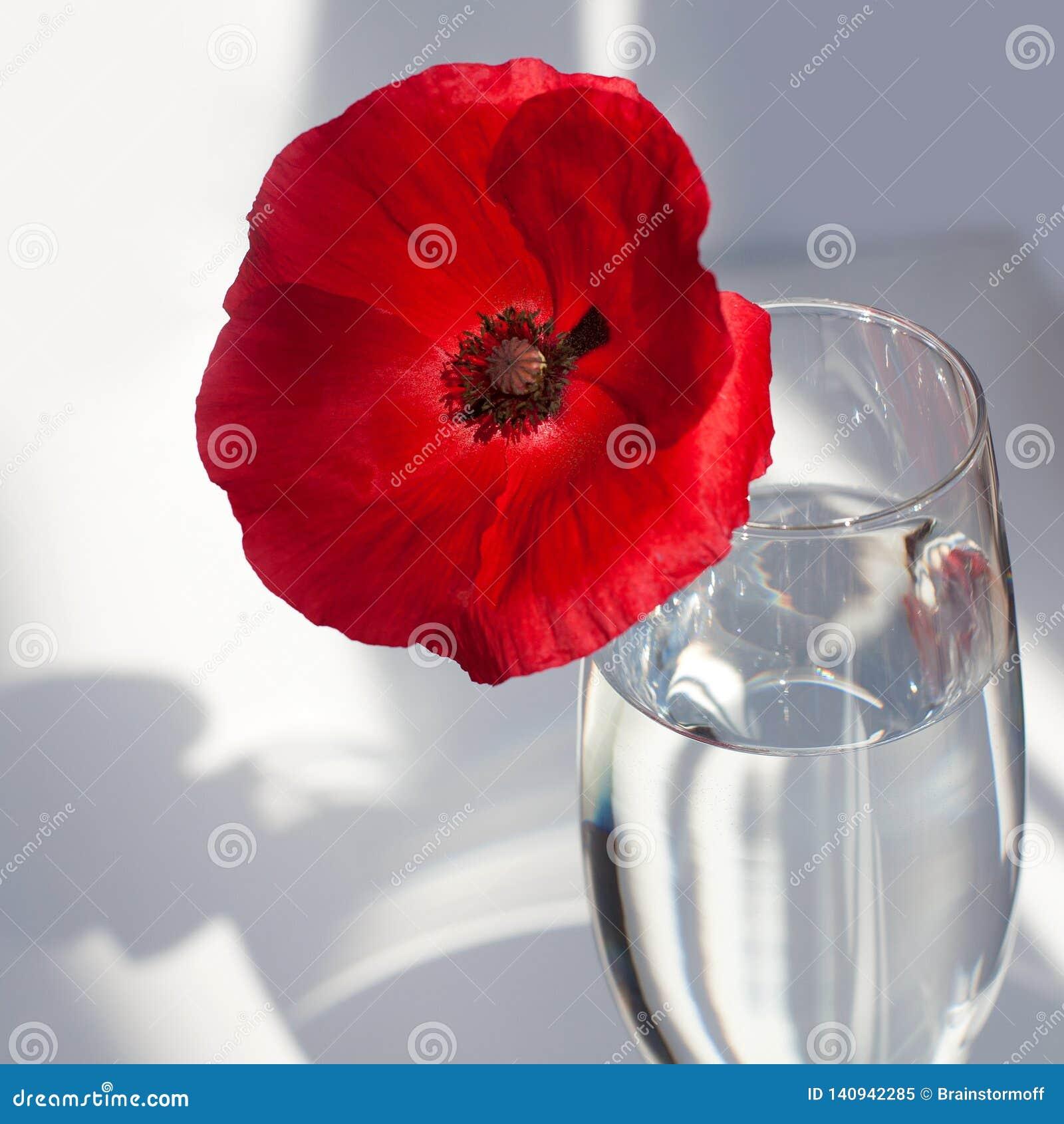 Una flor roja grande de la amapola en la tabla blanca con la luz y las sombras del sol del contraste y la copa de vino con la opi