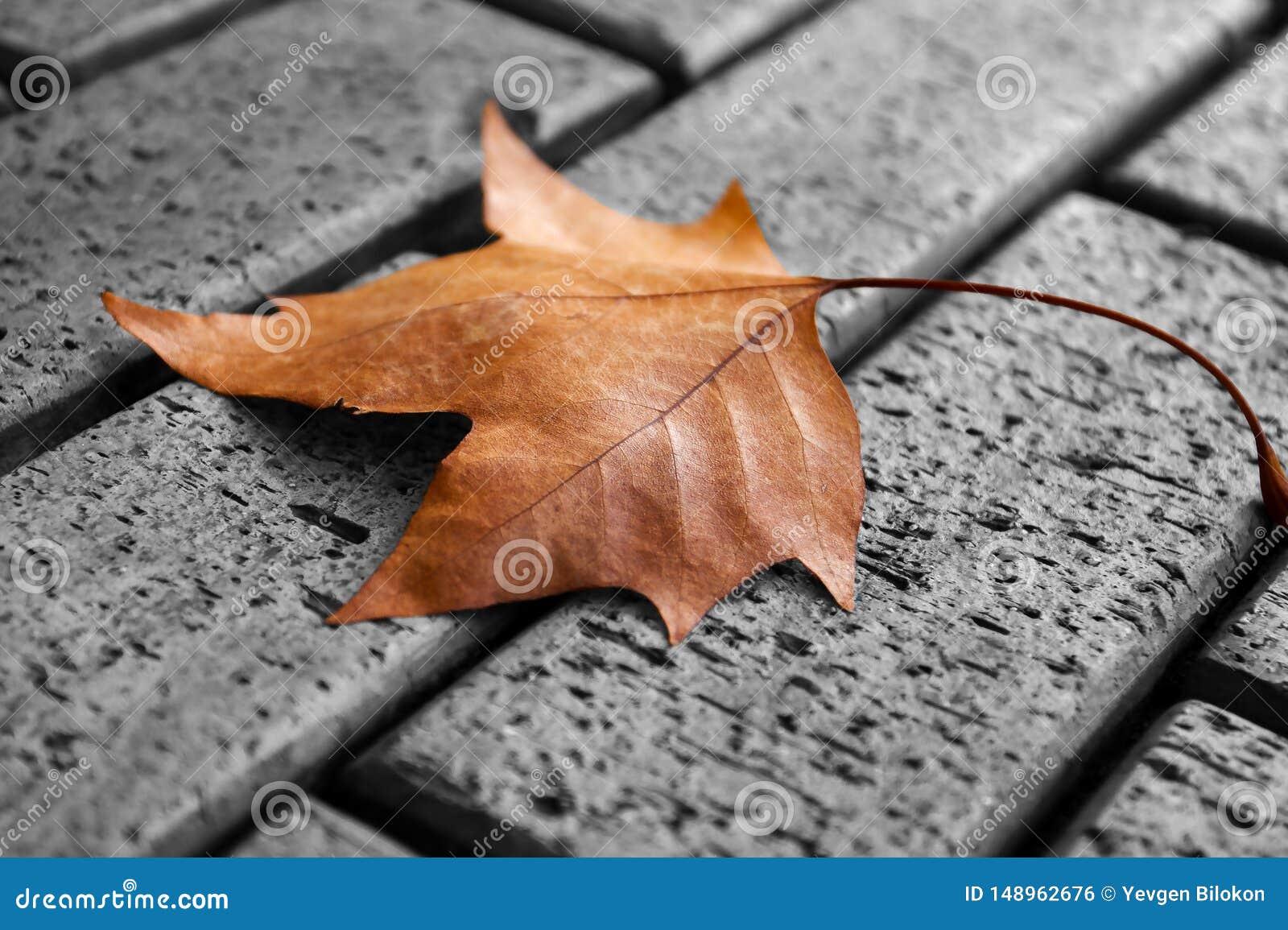 Una foglia di acero gialla sola che si trova sulla pavimentazione