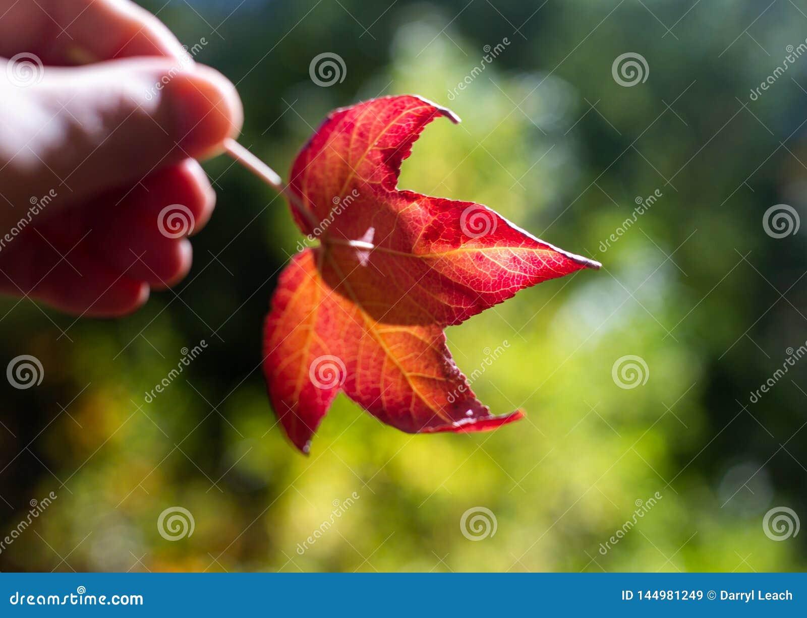 Una foglia rossa che è tenuta durante la stagione di caduta di autunno all Australia del sud alta dei giardini botanici del suppo