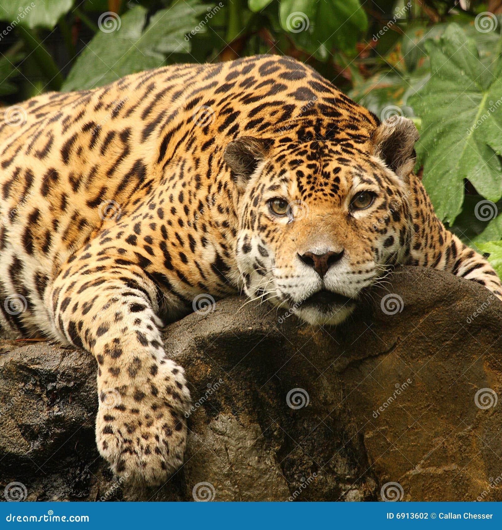 Una foto de un jaguar masculino