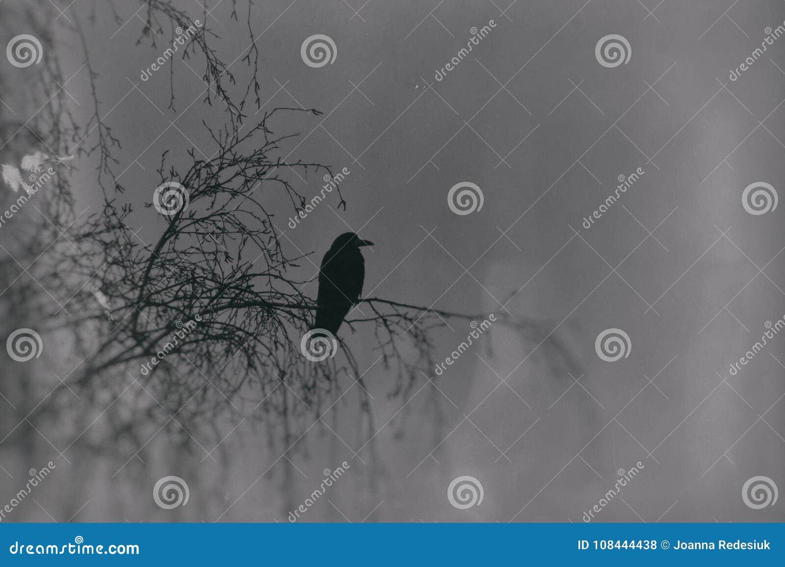 Una fotografía gótica de los pájaros negros que se sientan en un abedul deshojado