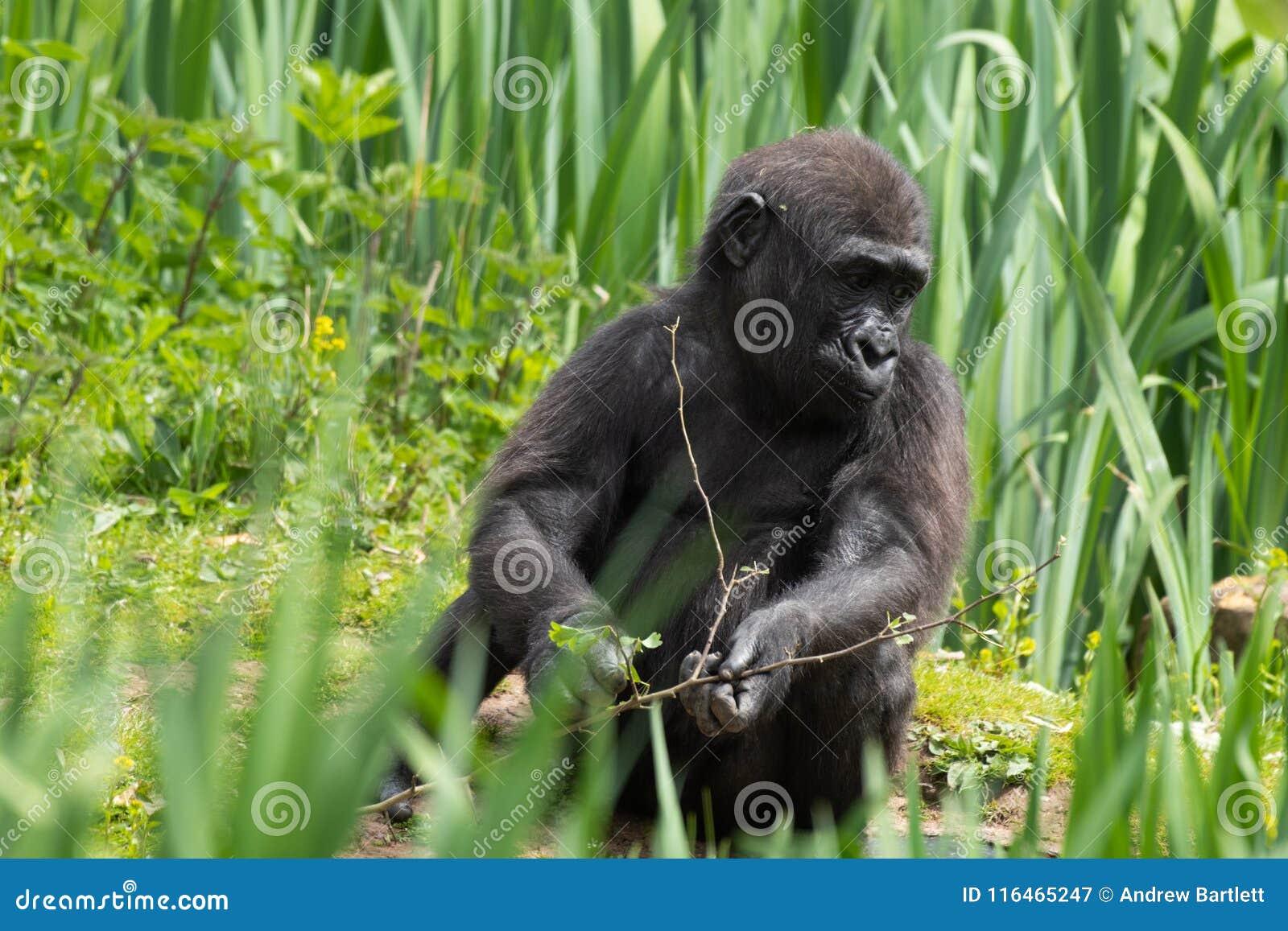 Una giovane gorilla di pianura occidentale che si alimenta a Bristol Zoo, Regno Unito