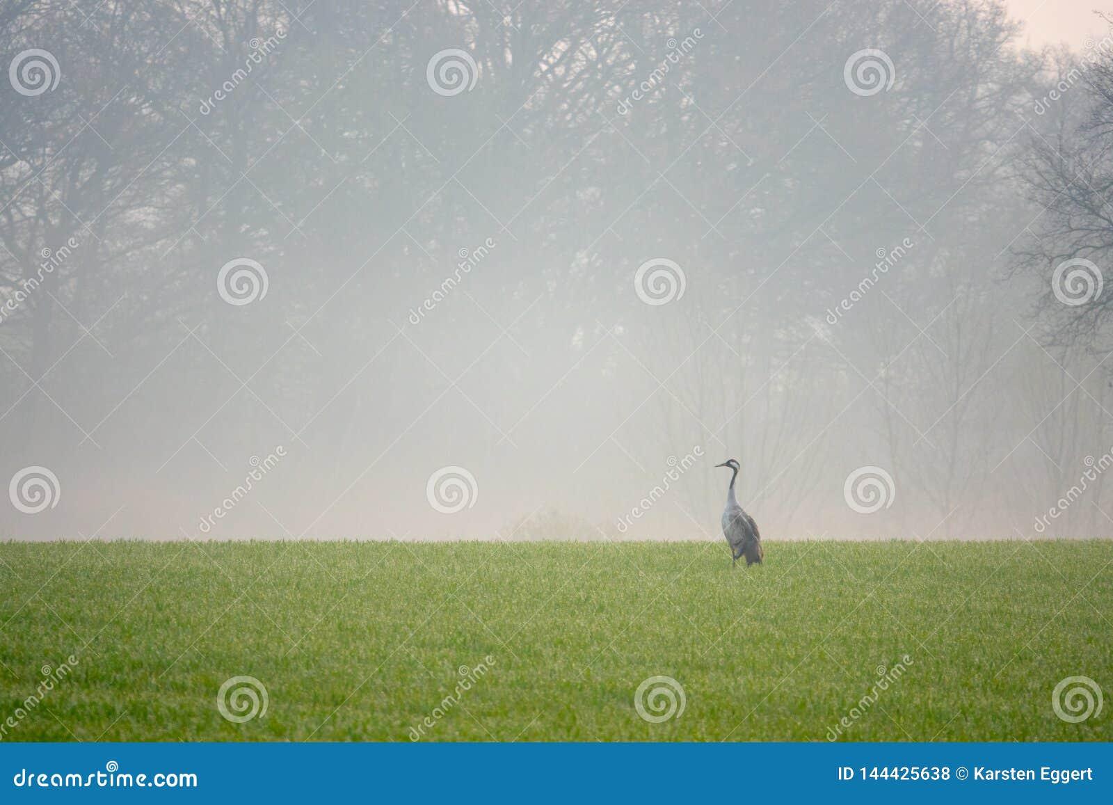 Una grúa está buscando la comida en un campo temprano por la mañana