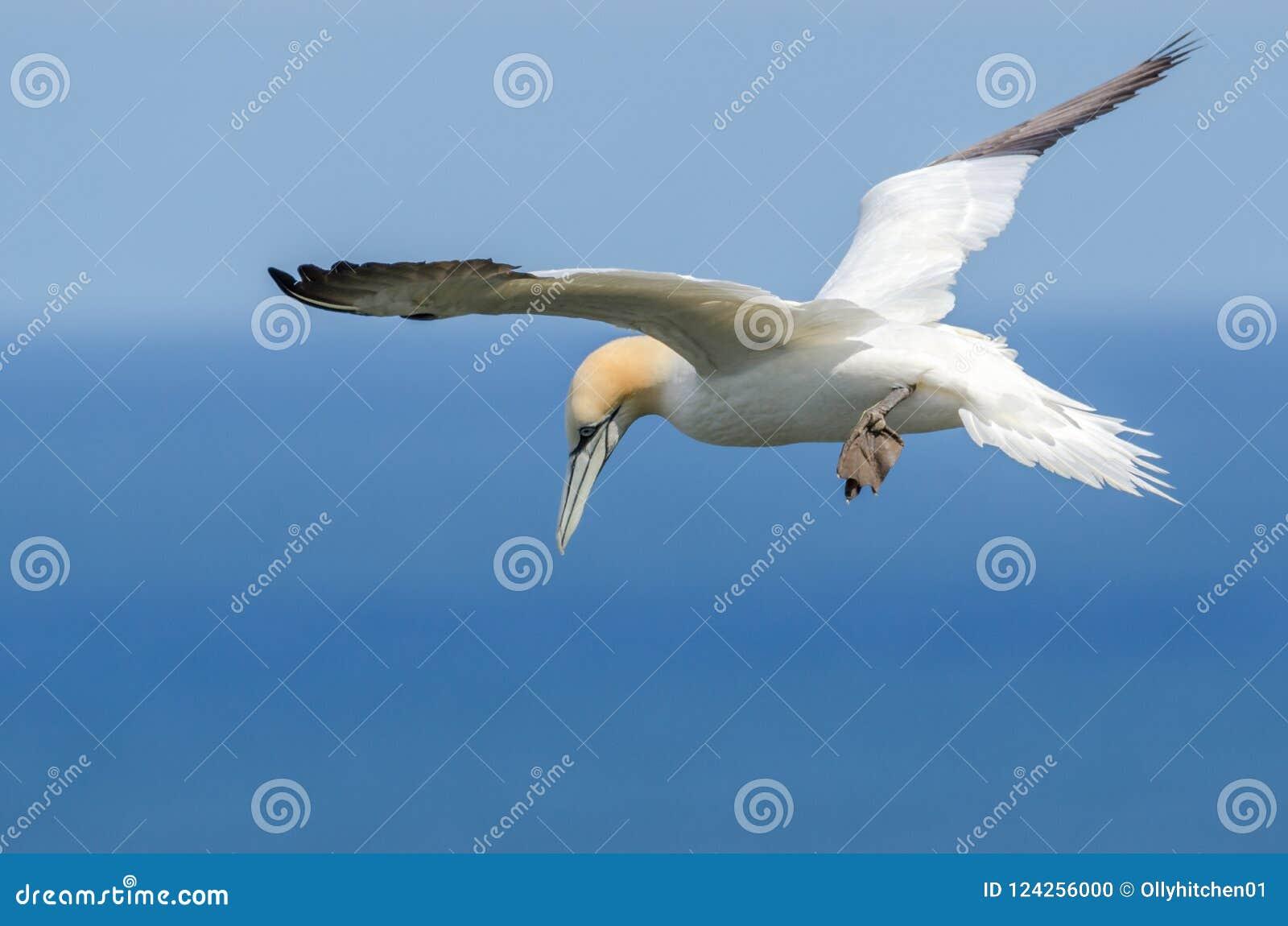 Una grande sula in volo
