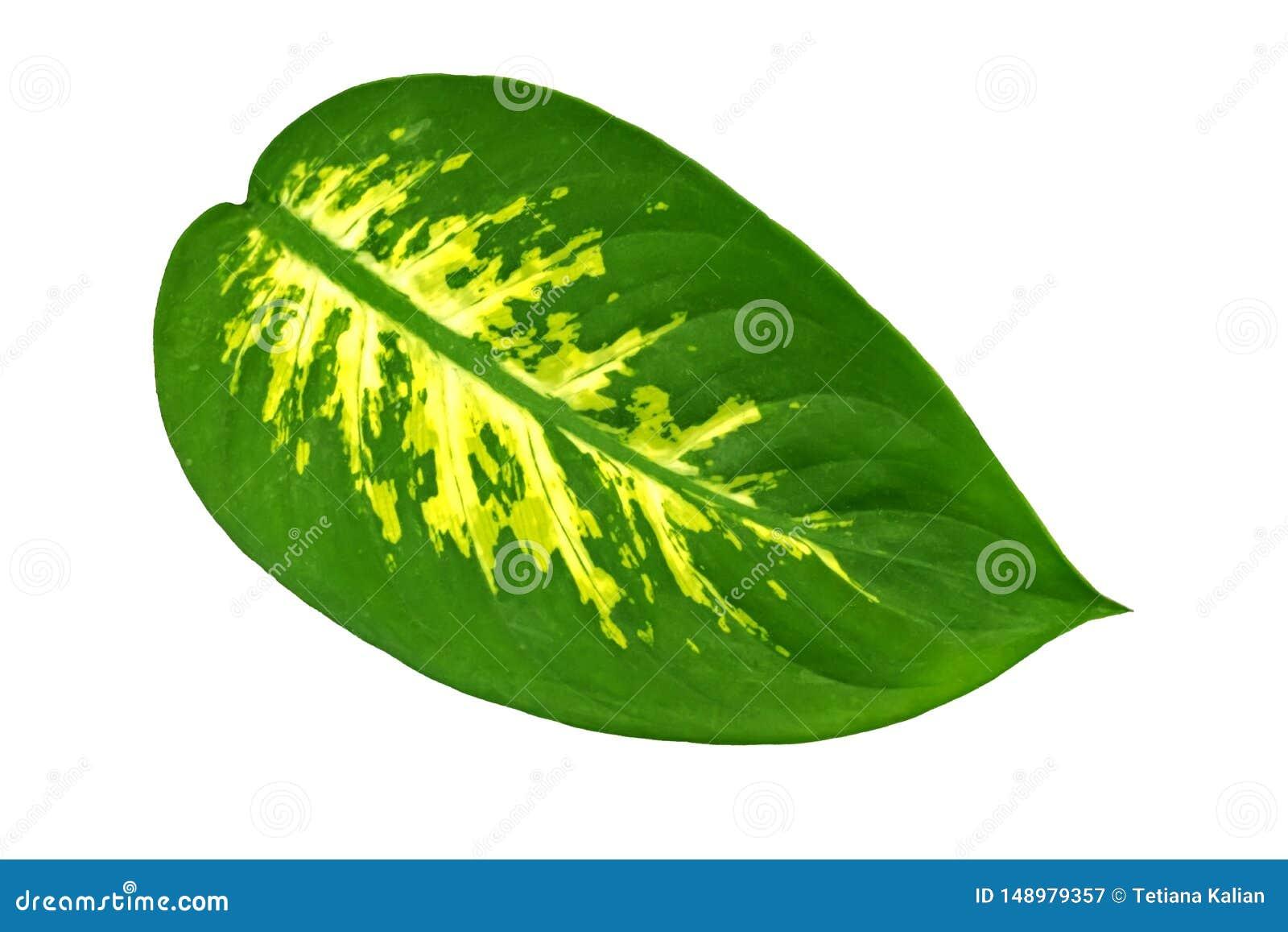 Una hoja oval grande de un Dieffenbachia de la planta tropical aislada en el fondo blanco Objeto para el dise?o