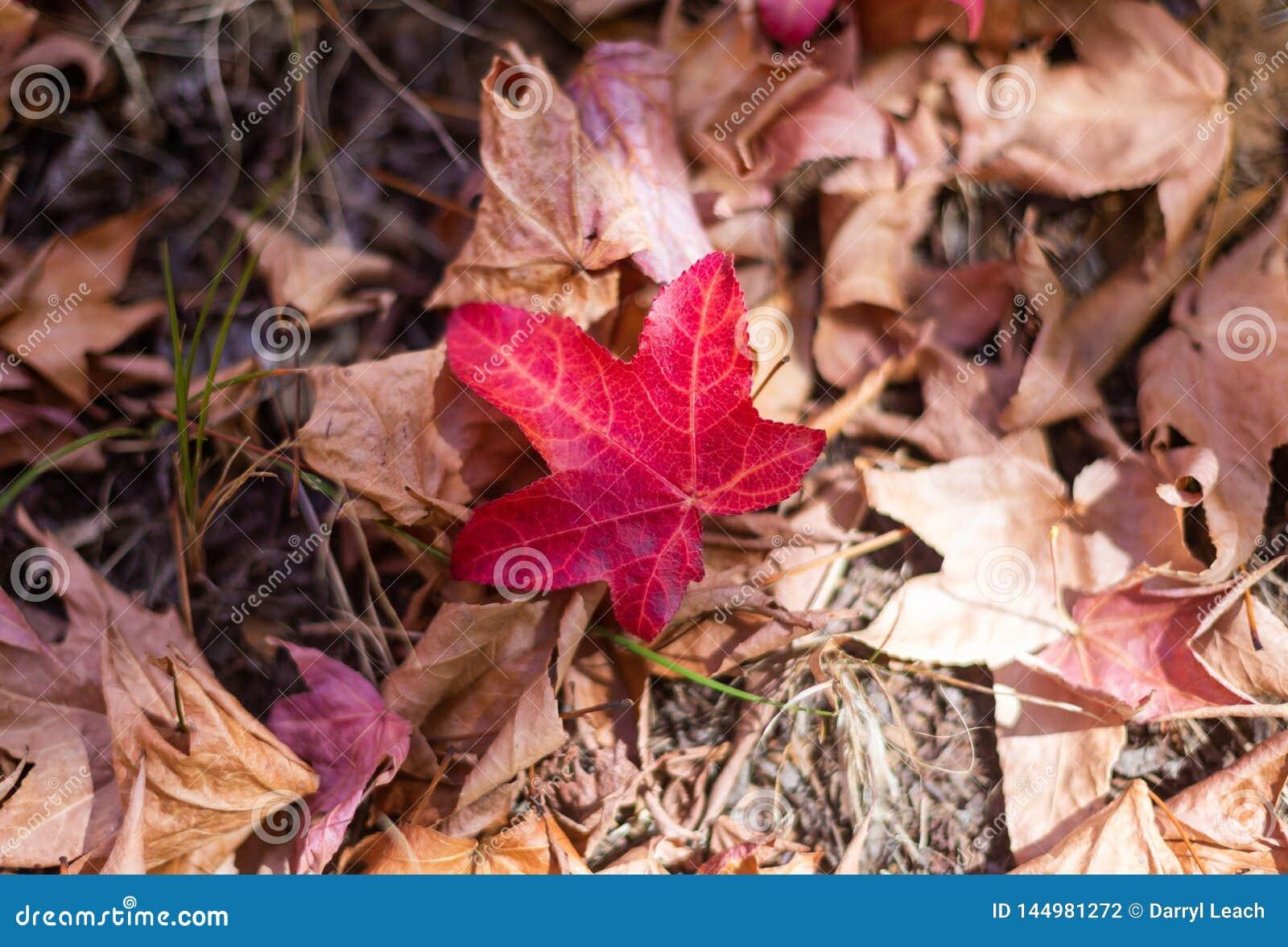 Una hoja roja en la tierra durante temporada de otoño del otoño en el sur de Australia alto de los jardines botánicos del soporte