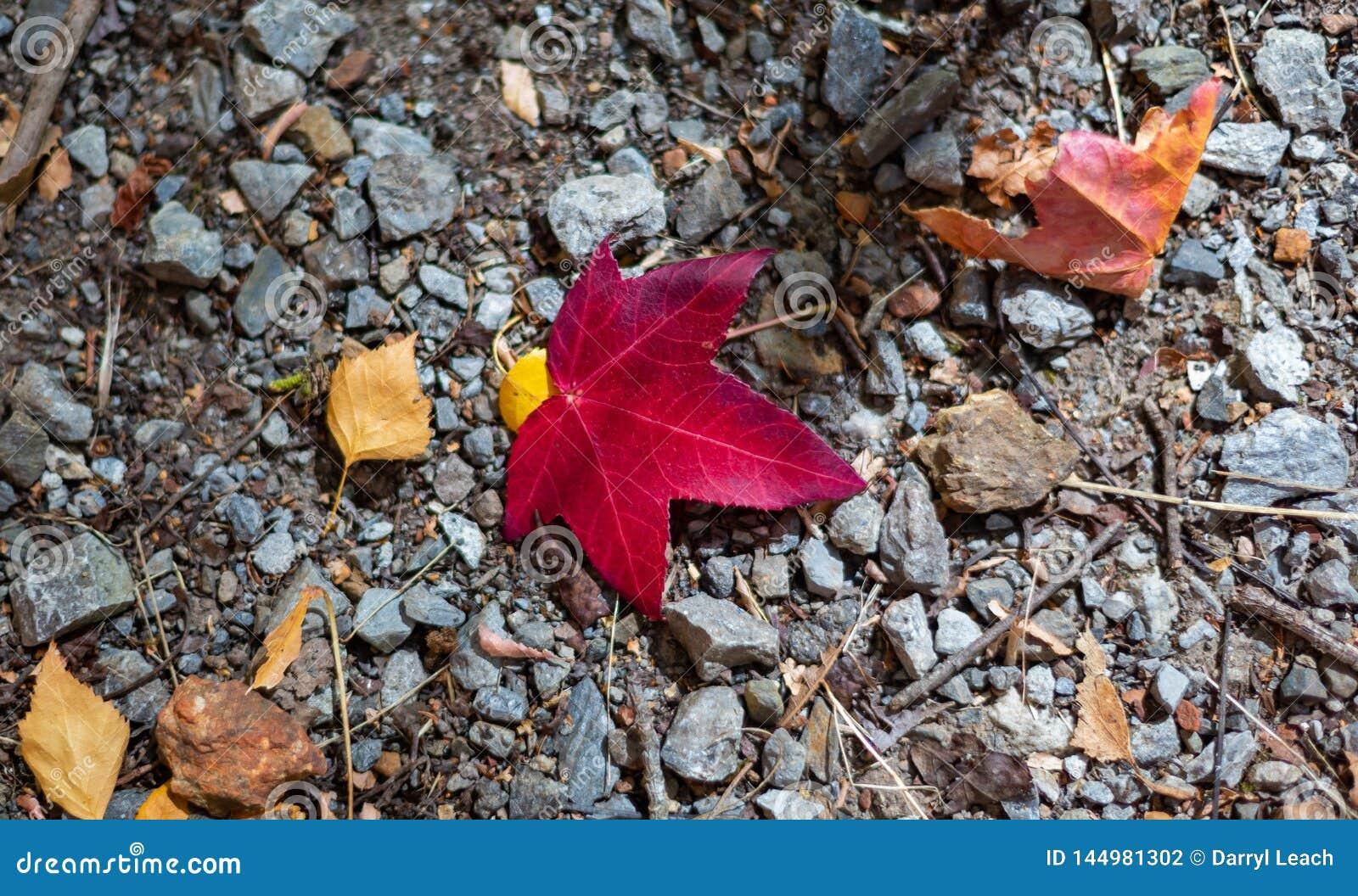 Una hoja roja en la tierra durante temporada de oto?o del oto?o en el sur de Australia alto de los jardines bot?nicos del soporte
