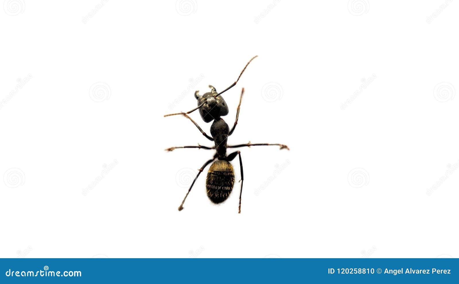Una hormiga en un fondo blanco