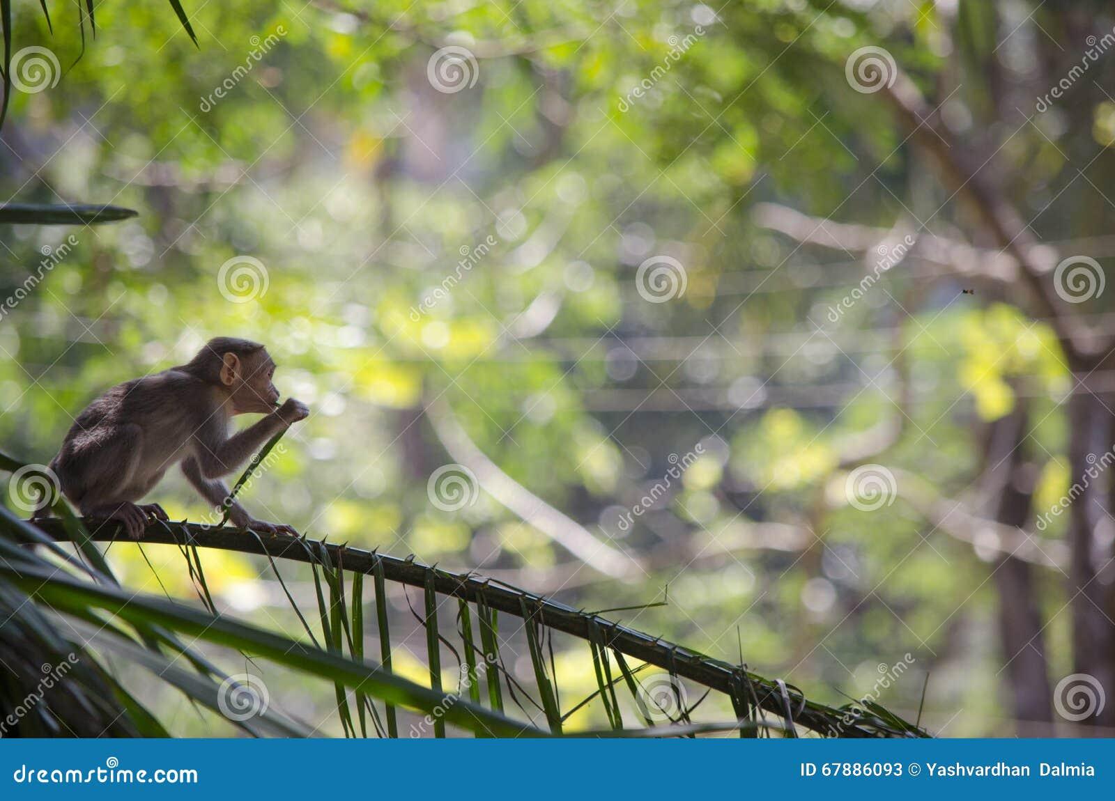 Una imagen de un mono de Macaque de capo que come las hojas