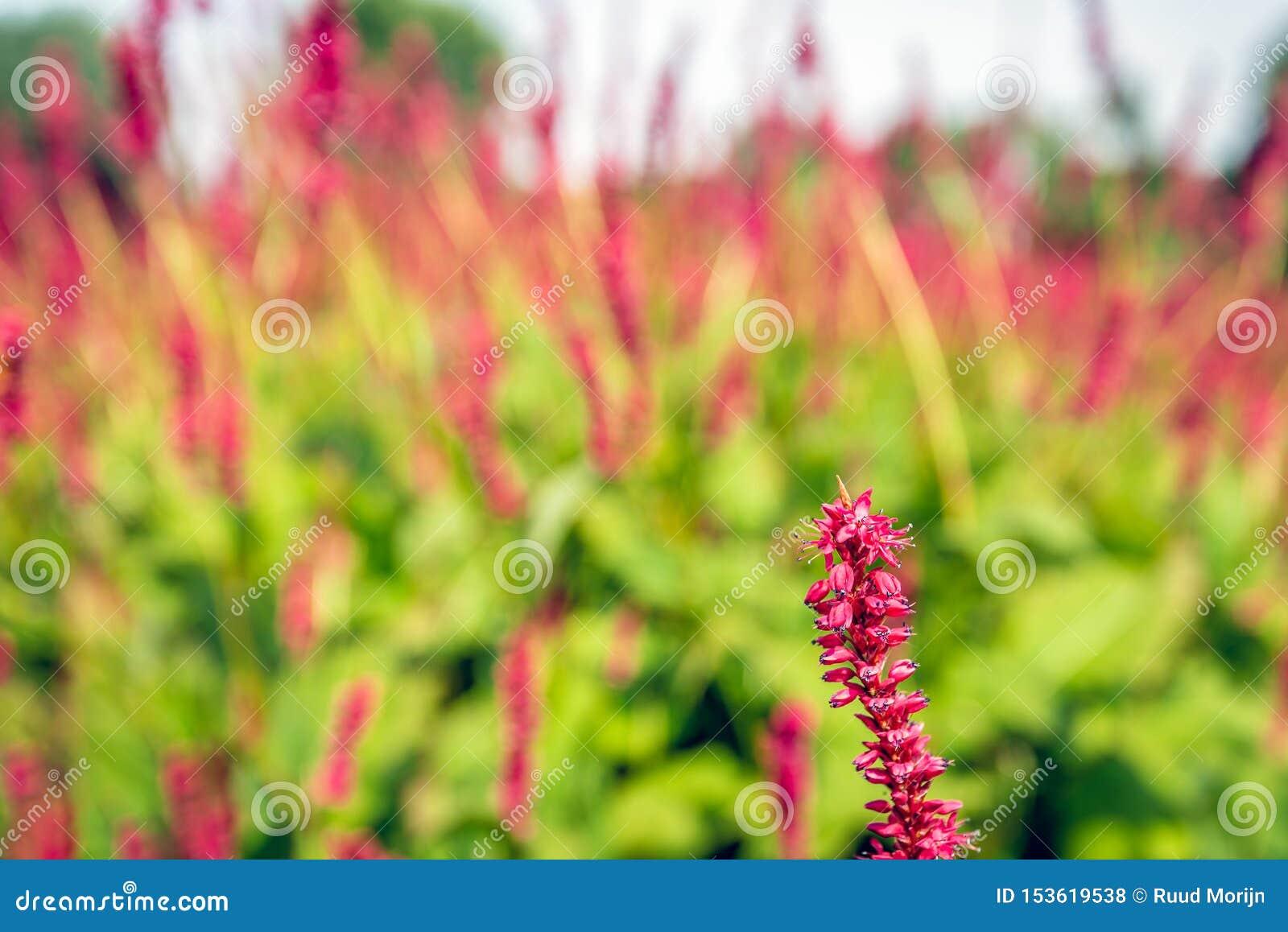 Una inflorescencia spikelike de las flores rojas de Knotweed