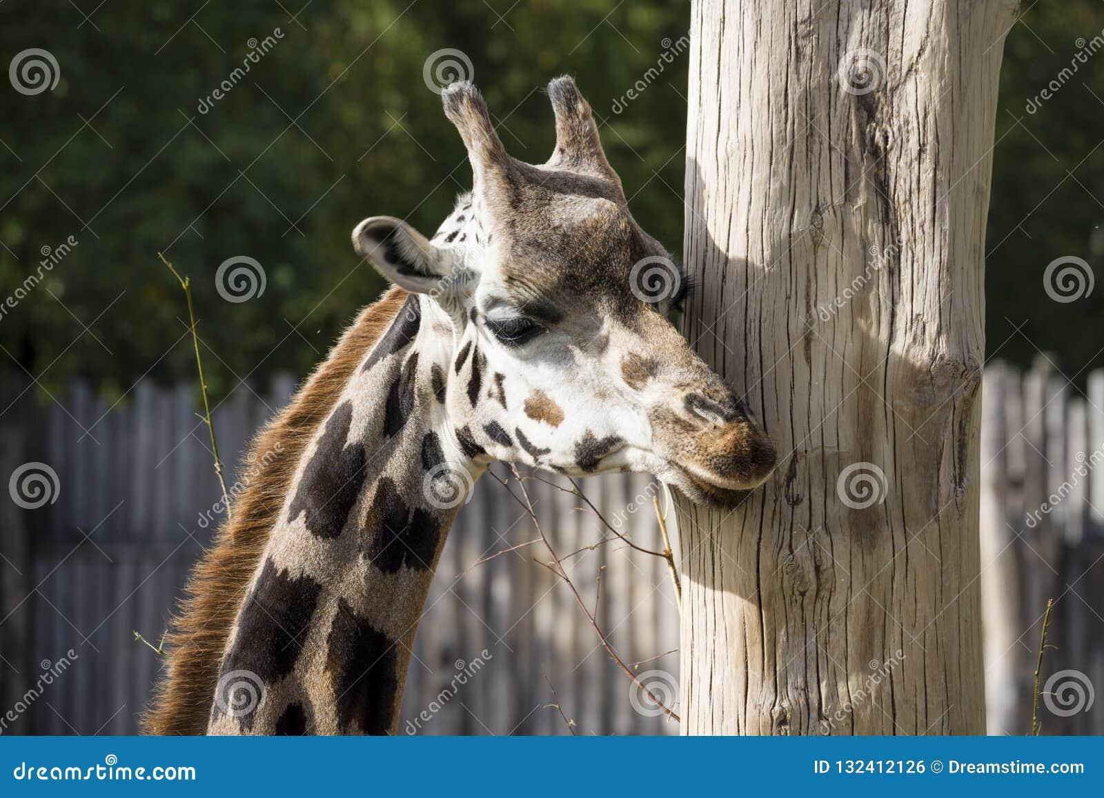 Una jirafa del retrato pica alrededor de un árbol y mordisca él