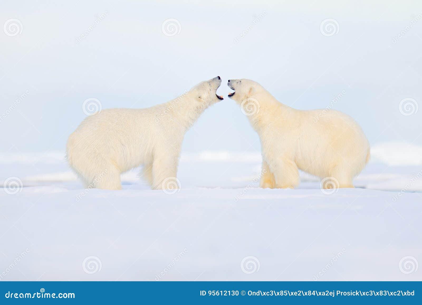 Una lotta di due orsi polari sul ghiaccio Comportamento animale nelle Svalbard artiche, Norvegia Conflitto dell orso polare con i