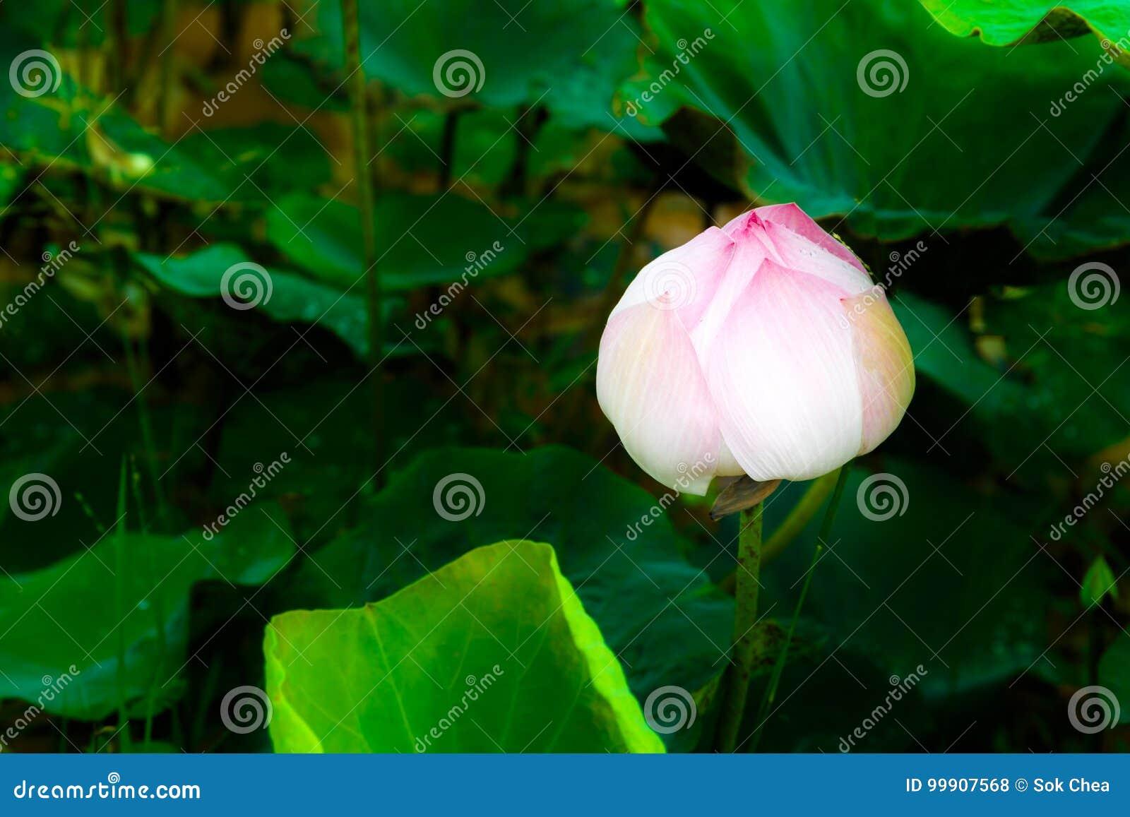 Una Lotus Flower Is Glowing Alone nello scuro