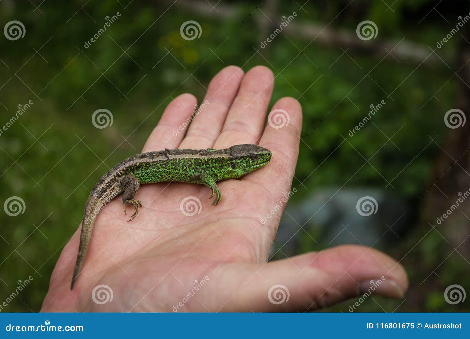 Una lucertola verde nella mano